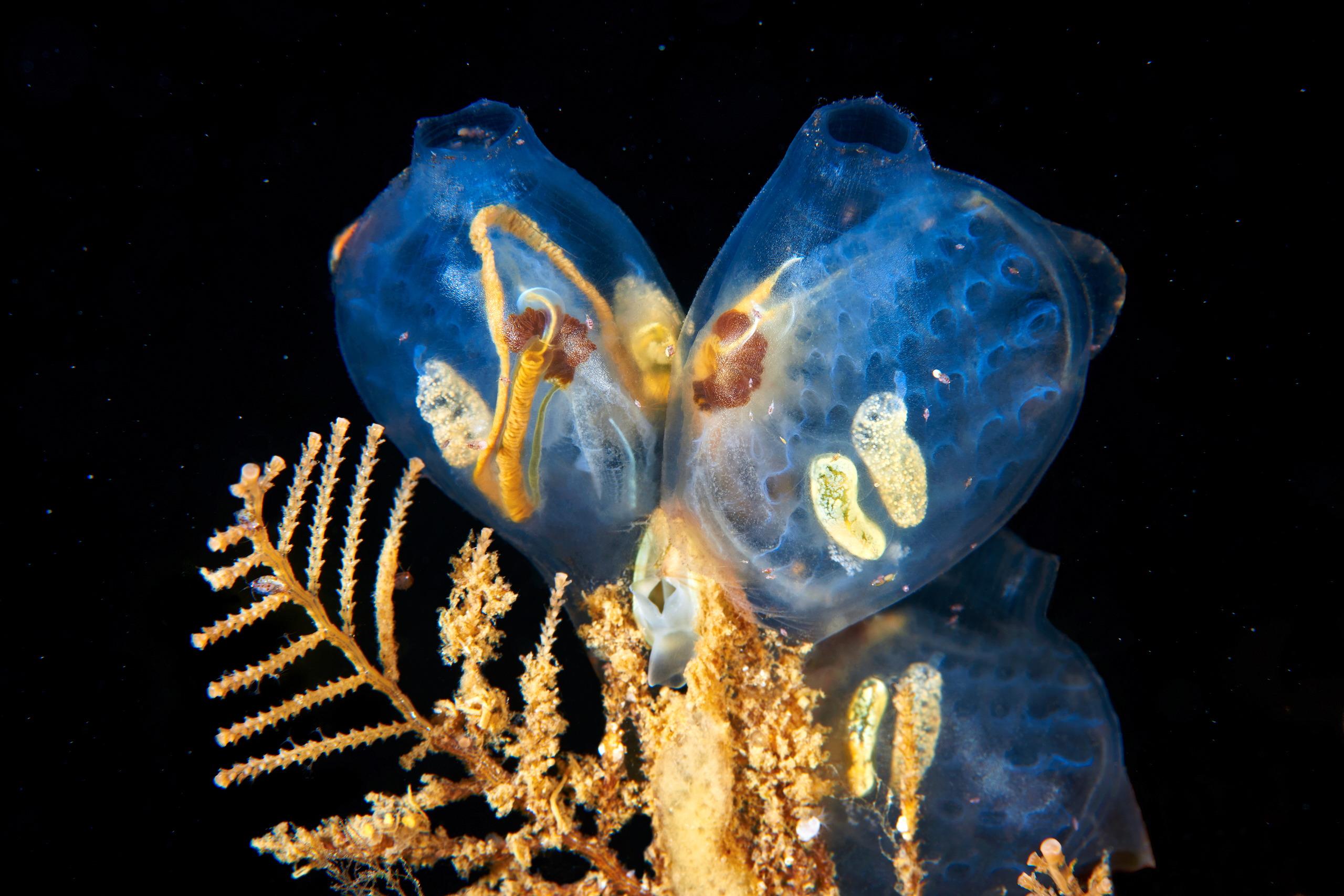 Ascidian – Molgula griffithsii