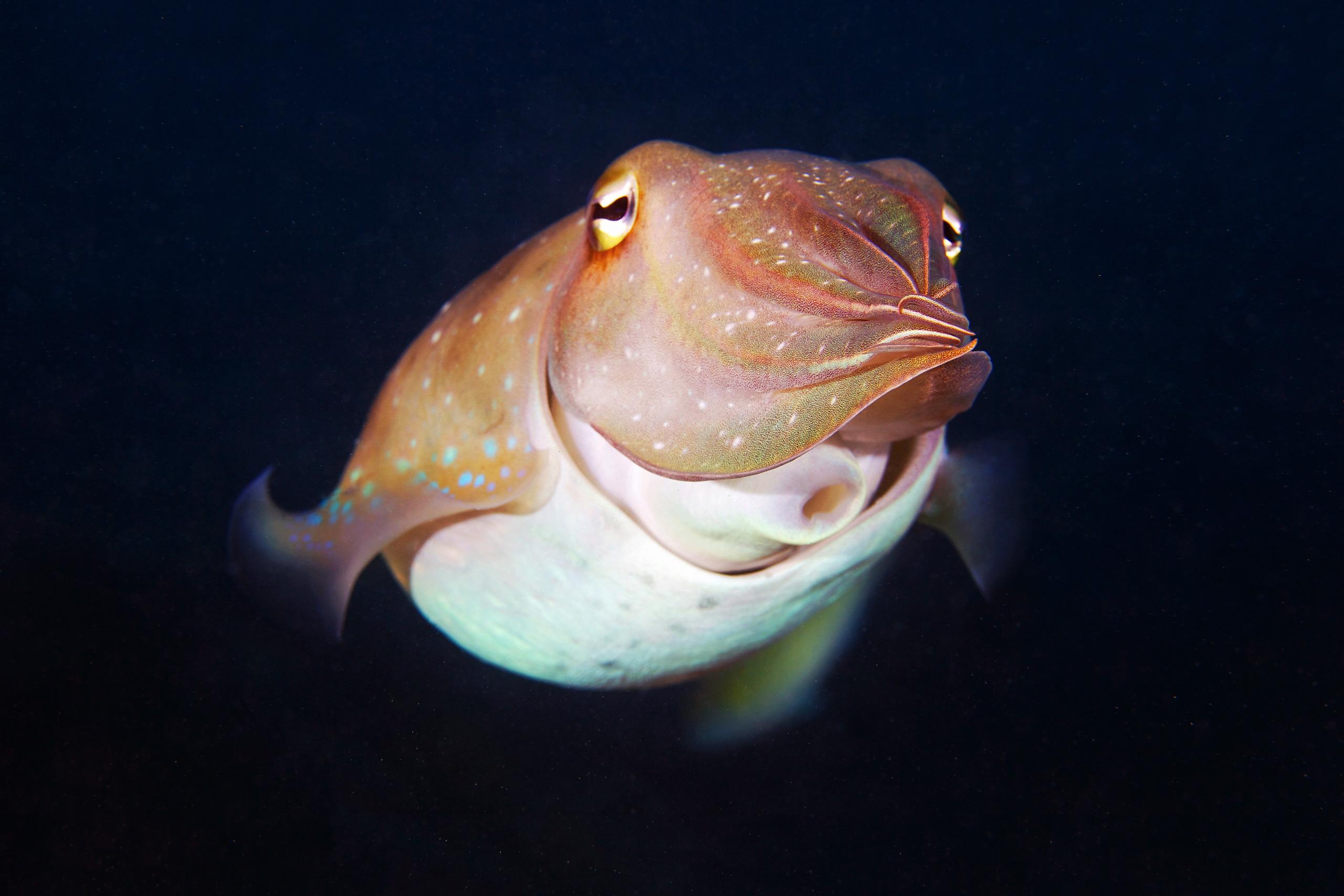 Cephalopoda – Giant cuttlefish – Sepia 2
