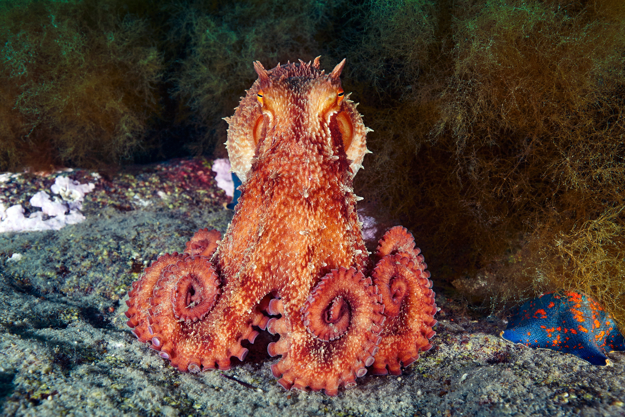 Cephalopoda – Giant pacific octopus – Enteroctopus dofleini 03