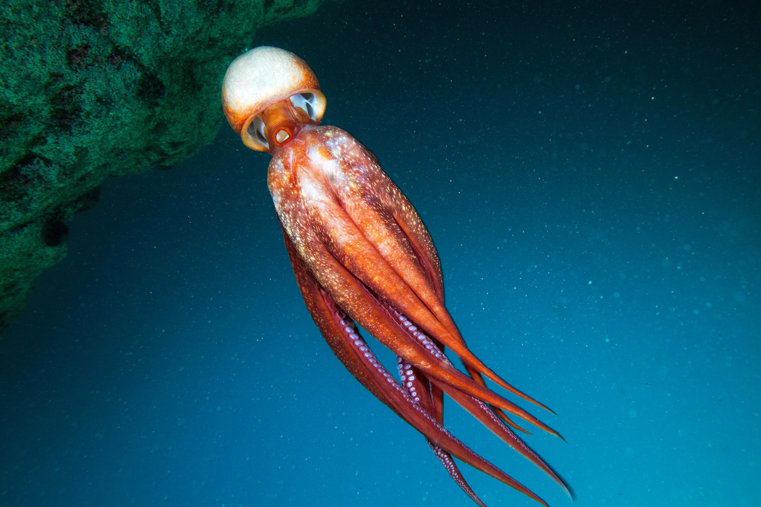 Cephalopoda – Giant pacific octopus – Enteroctopus dofleini 12