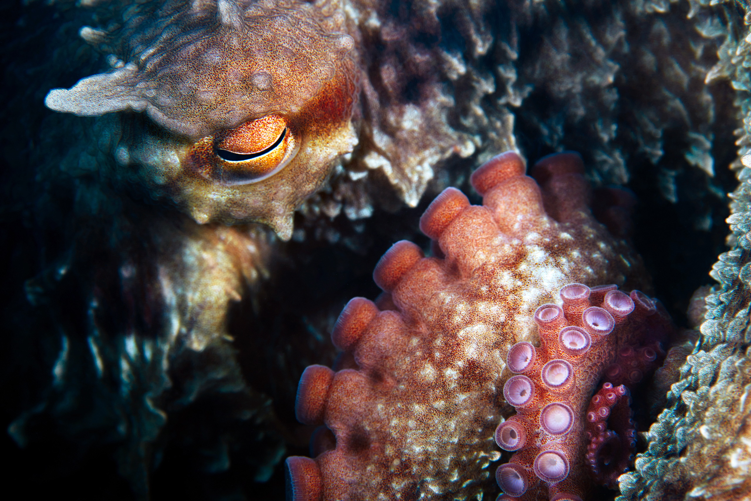 Cephalopoda – Giant pacific octopus – Enteroctopus dofleini 16