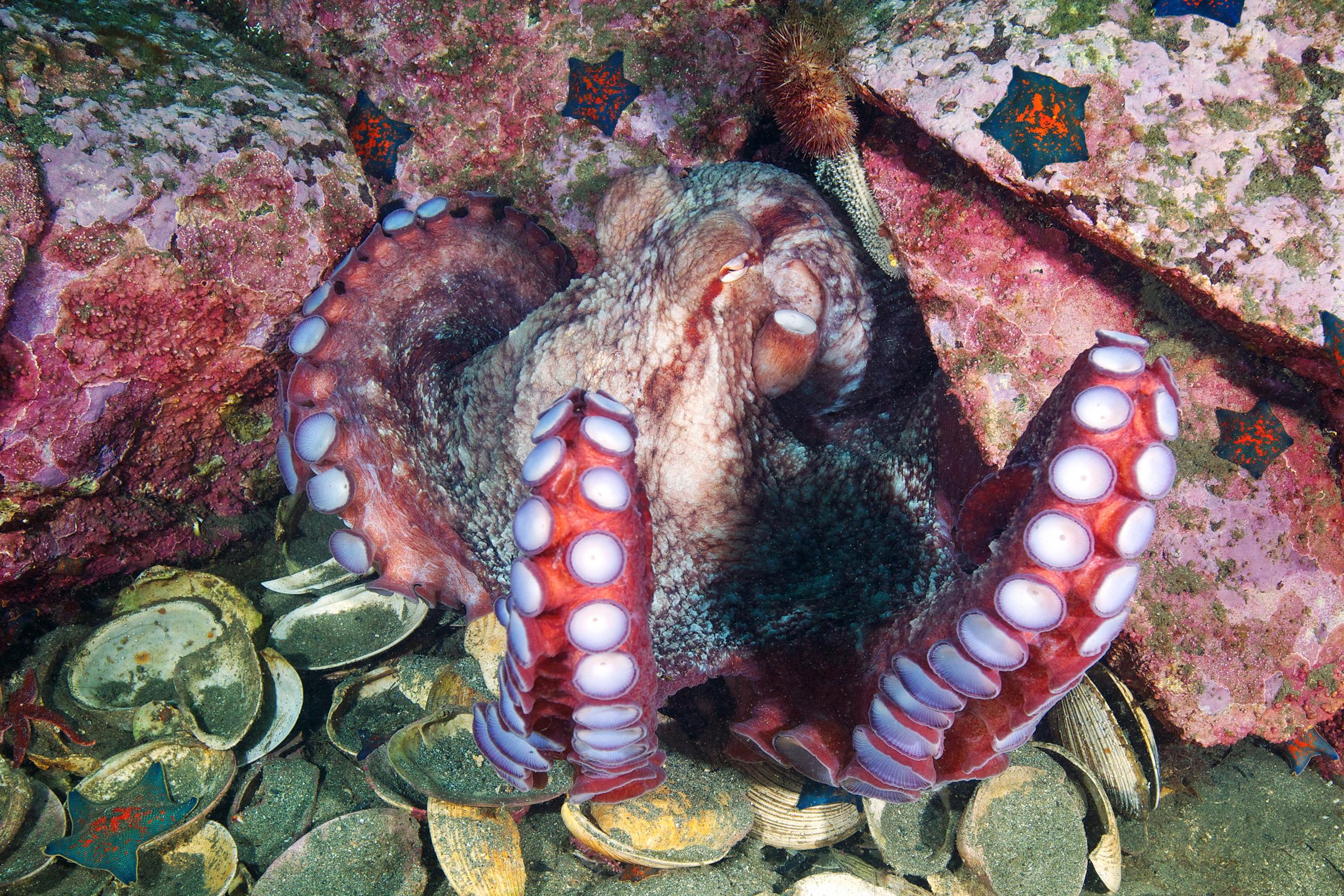 Cephalopoda – Giant pacific octopus – Enteroctopus dofleini 21 (1)