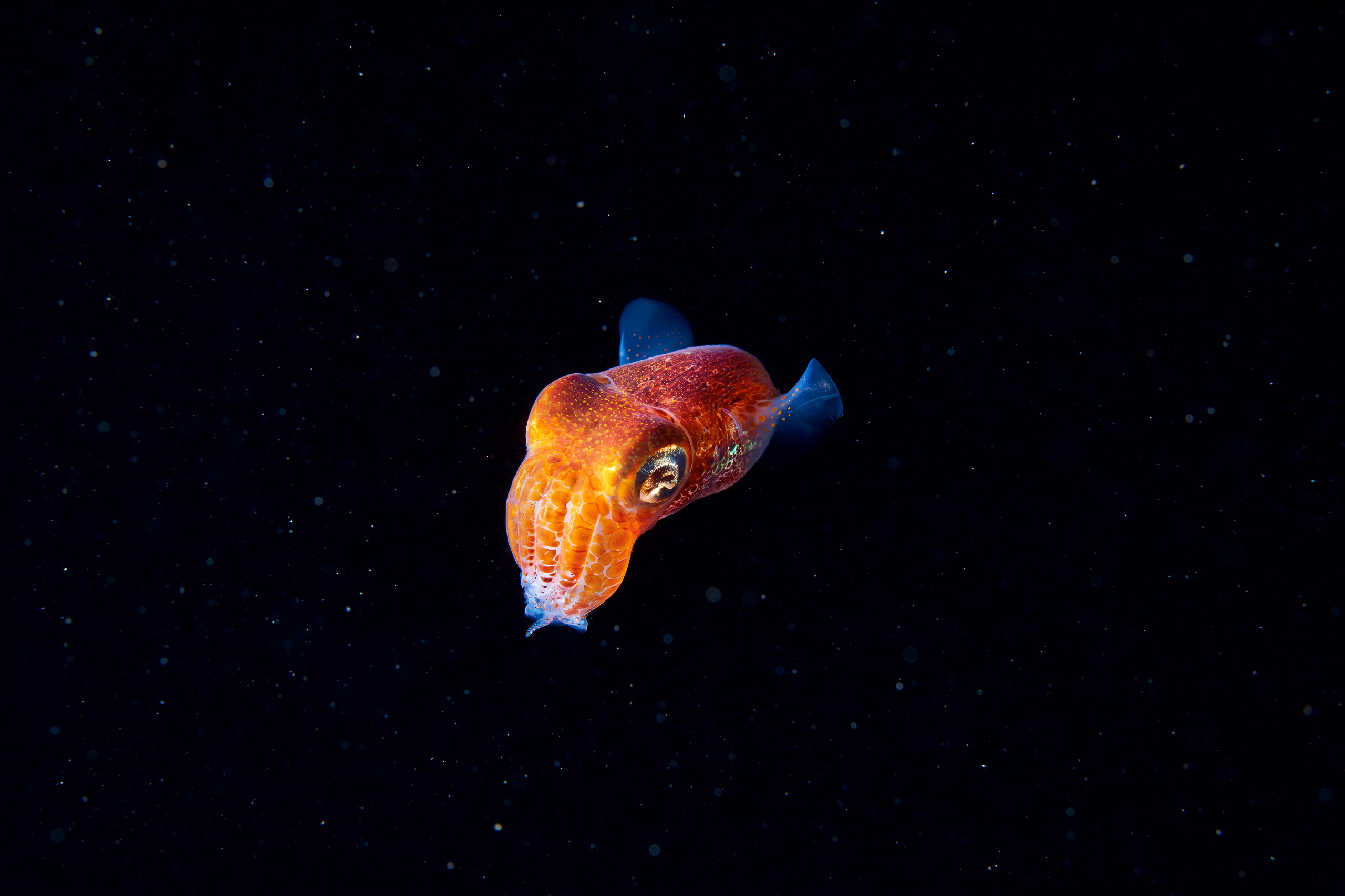 Cephalopoda – Sepiola sp