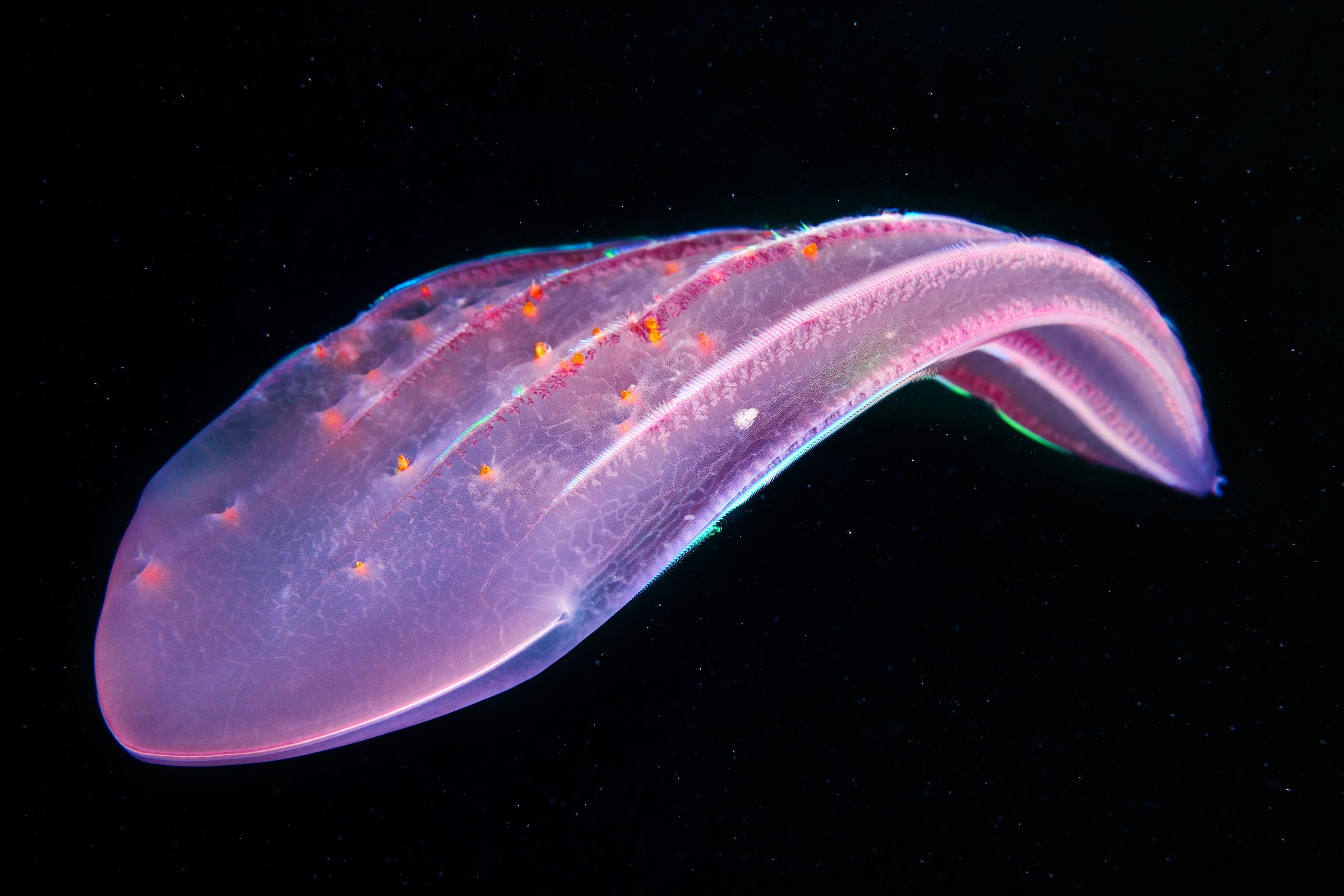 Ctenophora – Beroe forskalii with hyperiids 02
