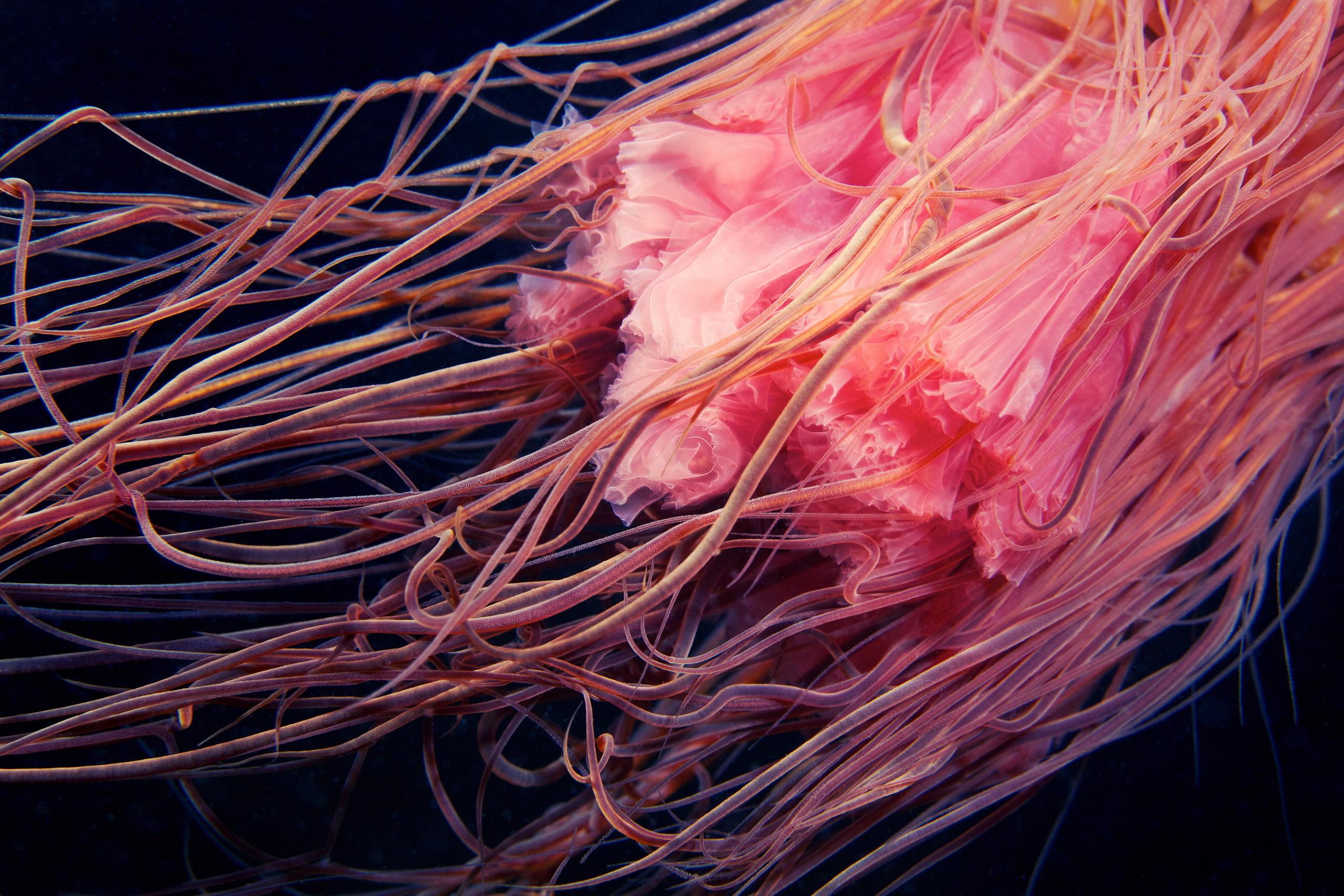 Cyanea capillata tentacles 1