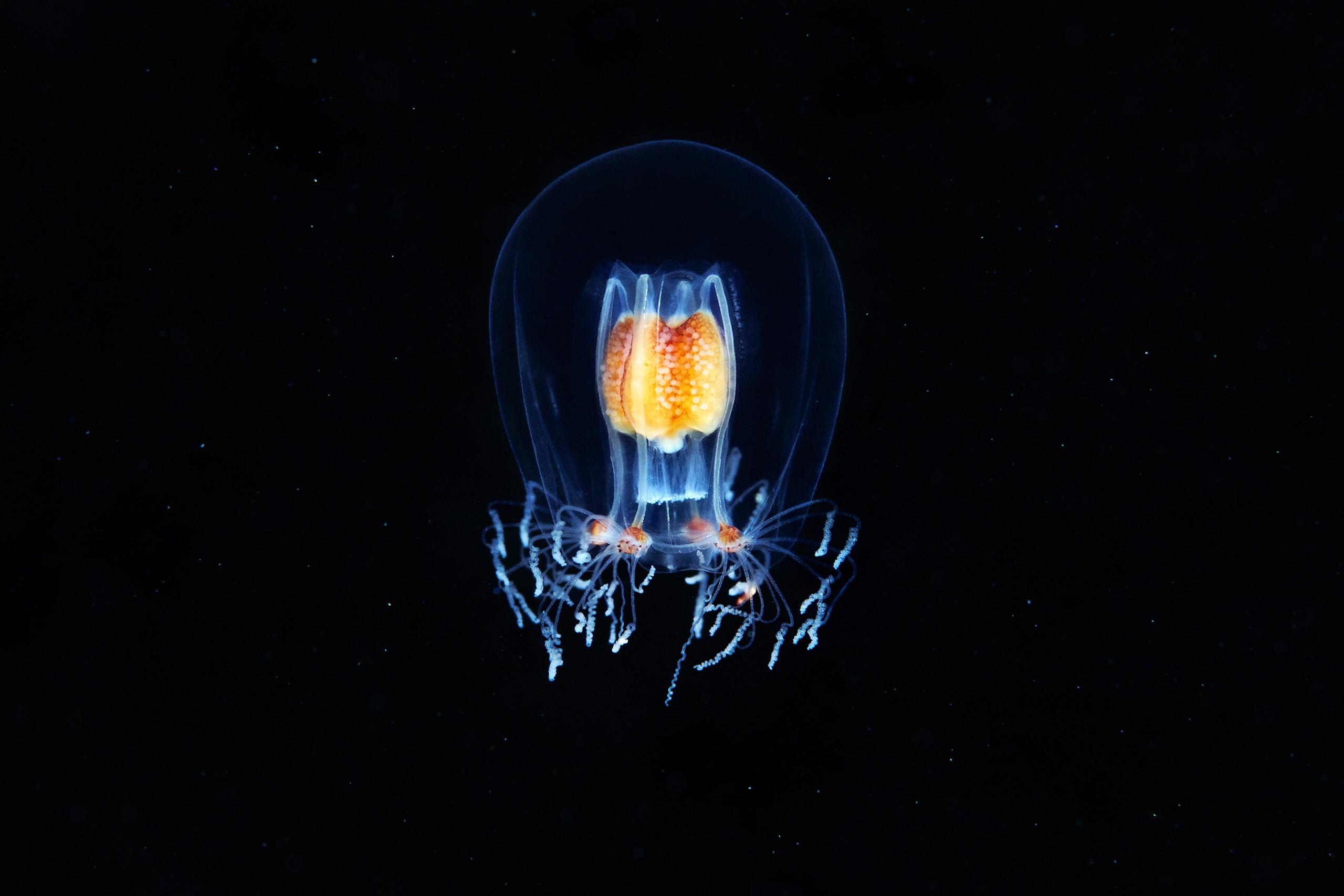 Hydrozoan jellyfish – Bougainvillia superciliaris