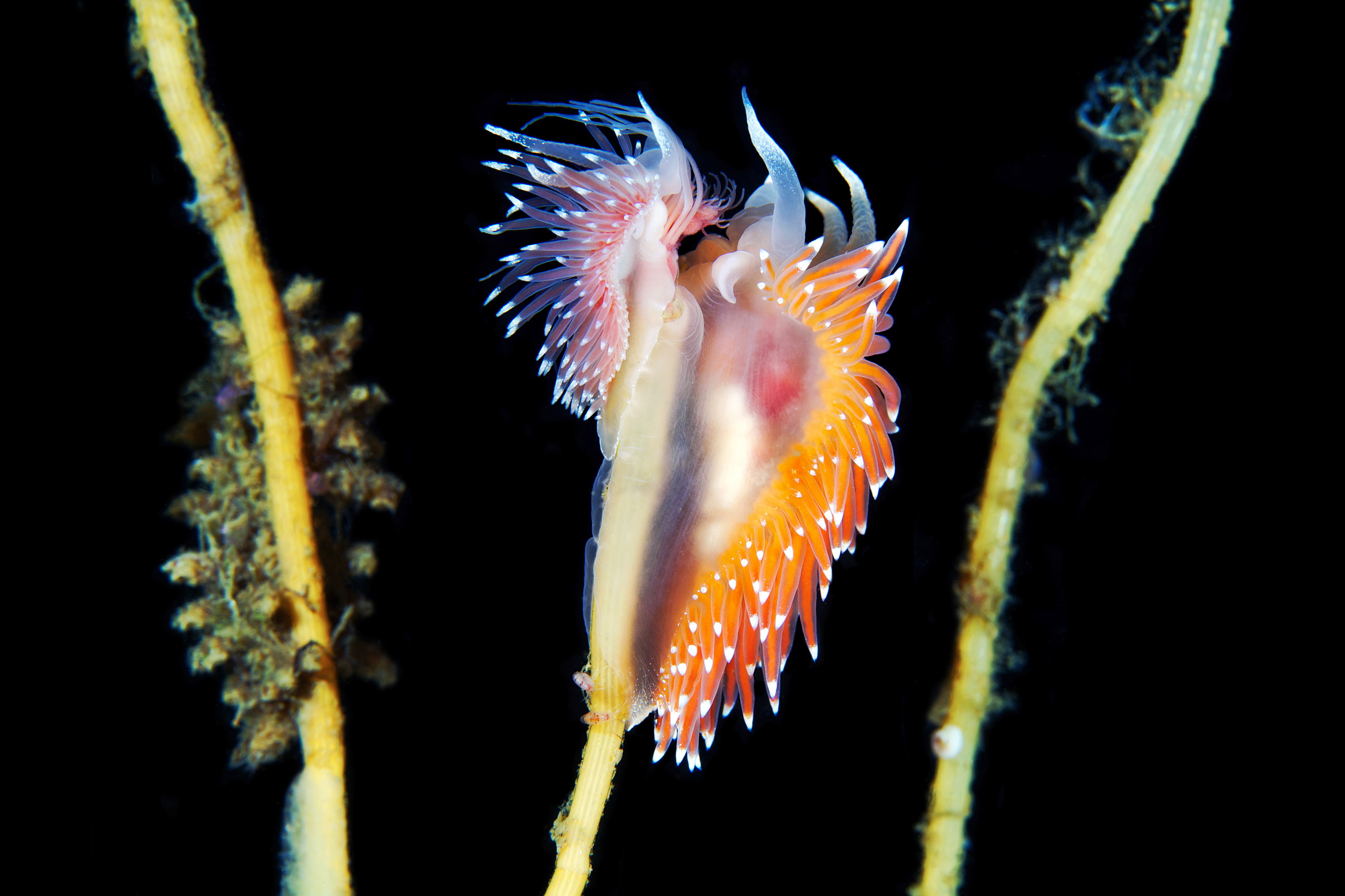 Nudibranchia – Coryphella polaris and Coryphella nobilis