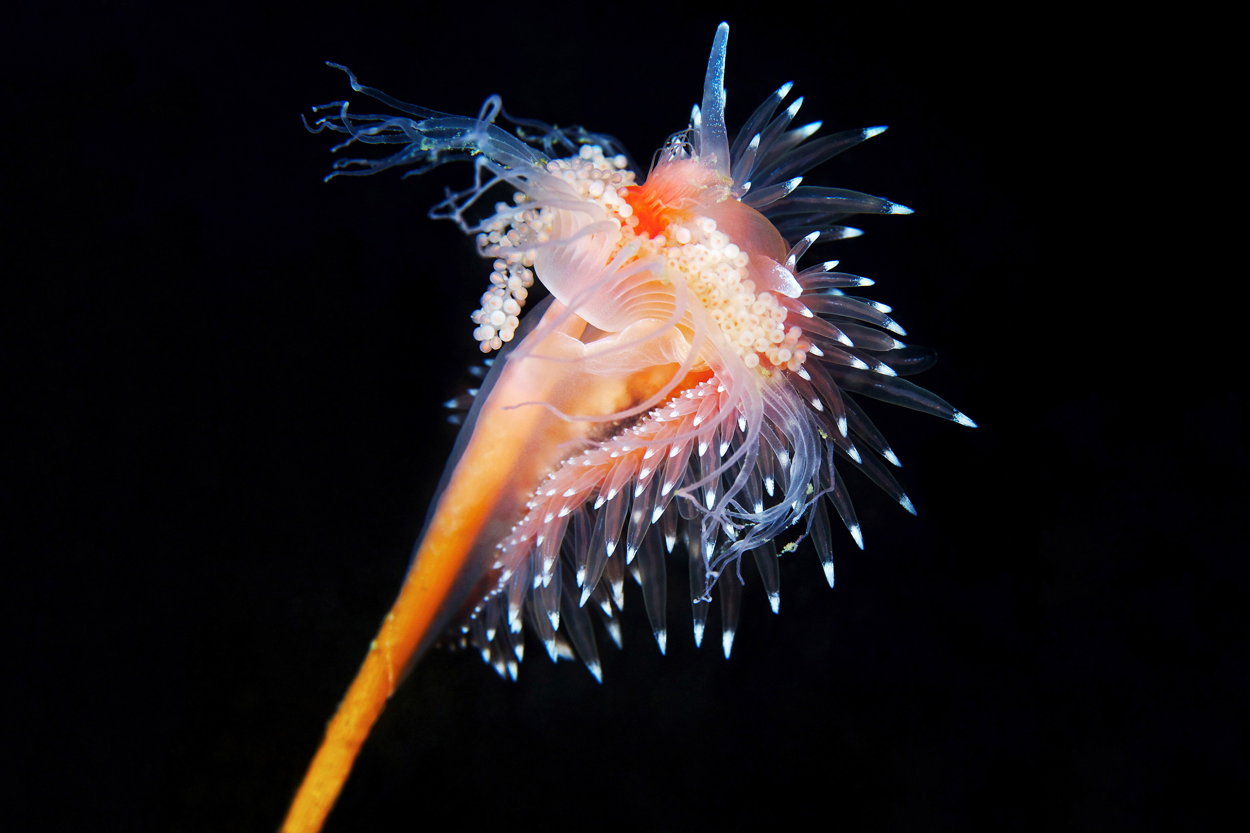 Nudibranchia – Flabellina polaris