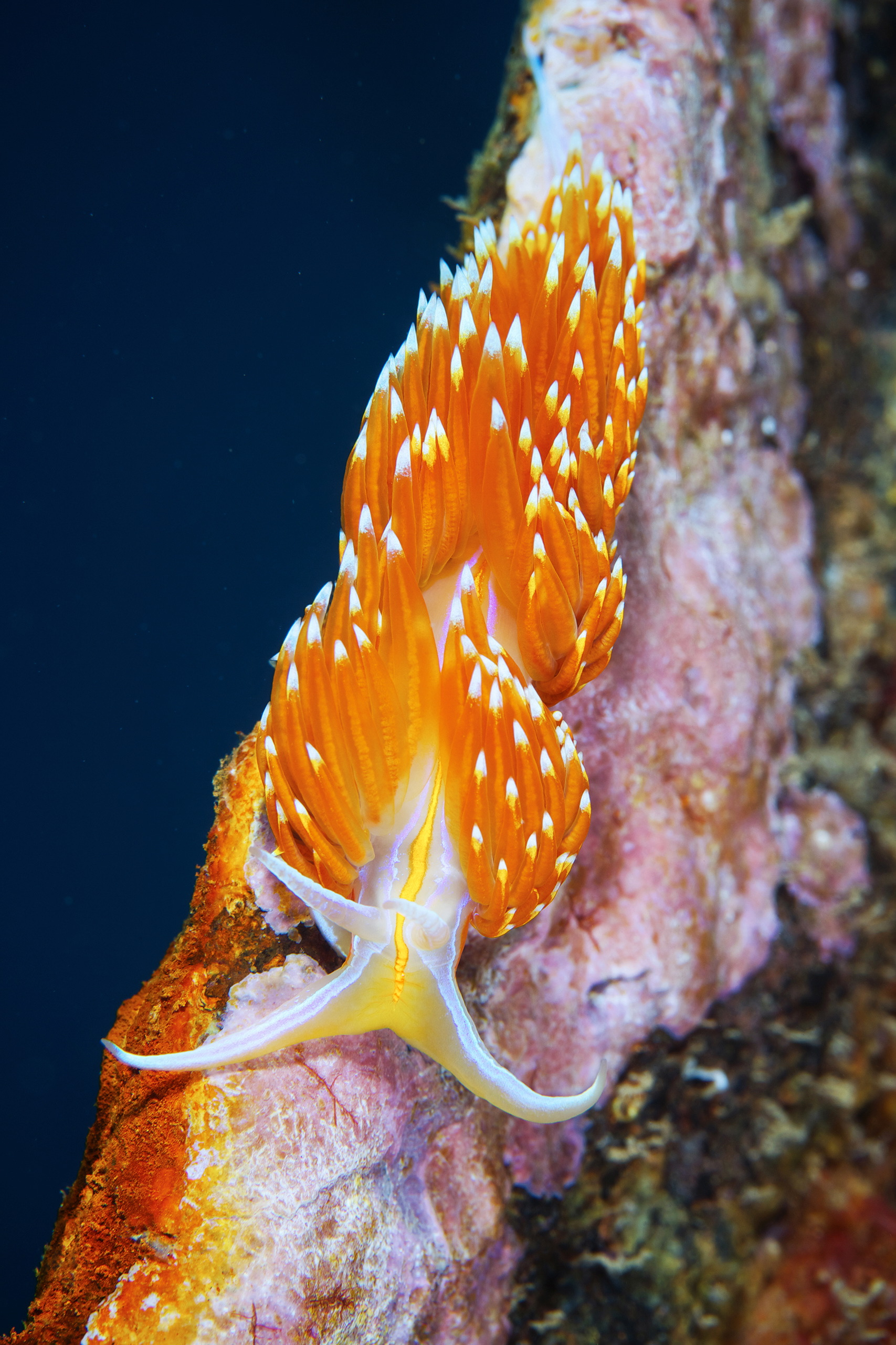 Nudibranchia – Hermissenda crassicornis 1