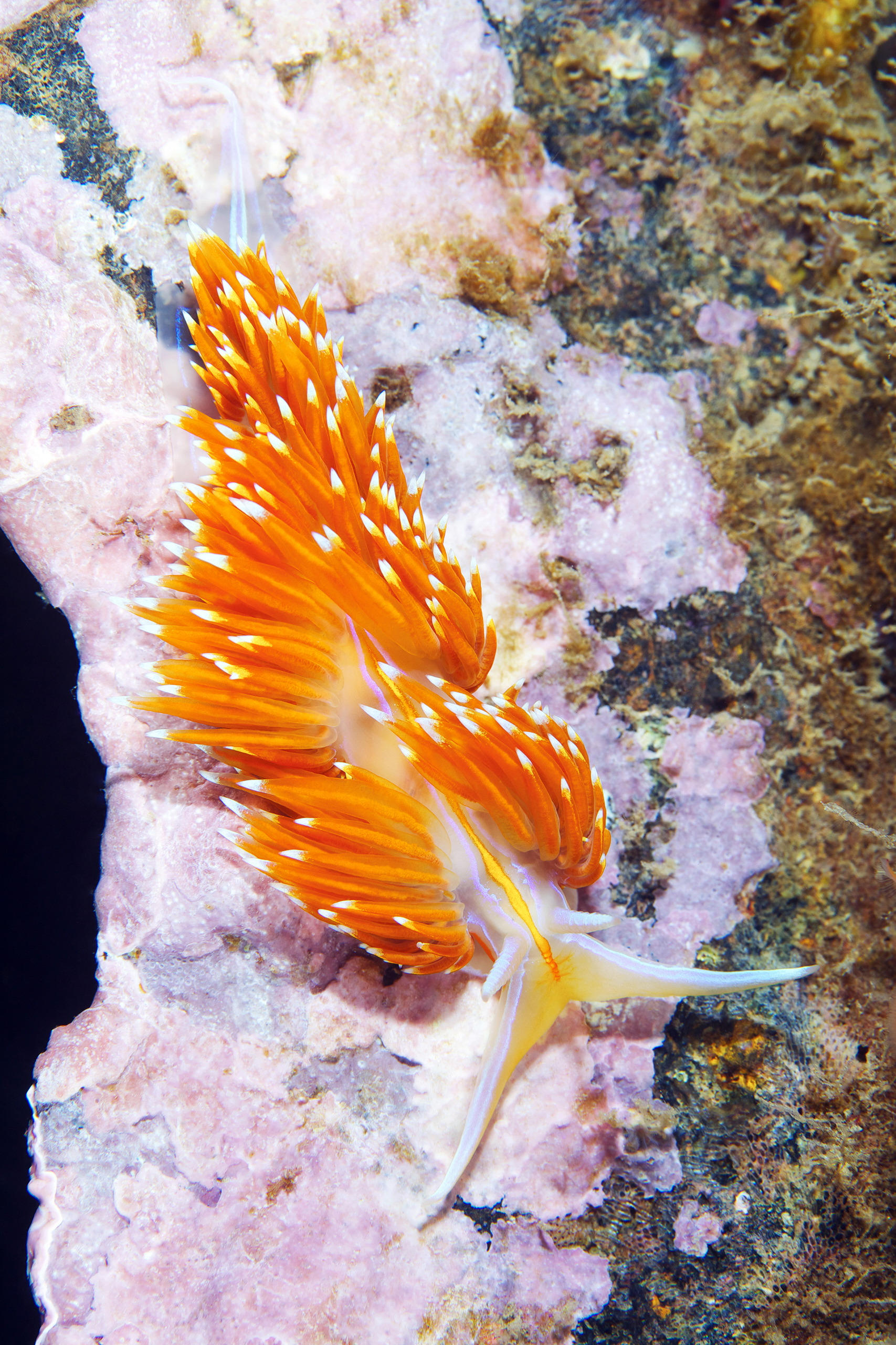 Nudibranchia – Hermissenda crassicornis 3