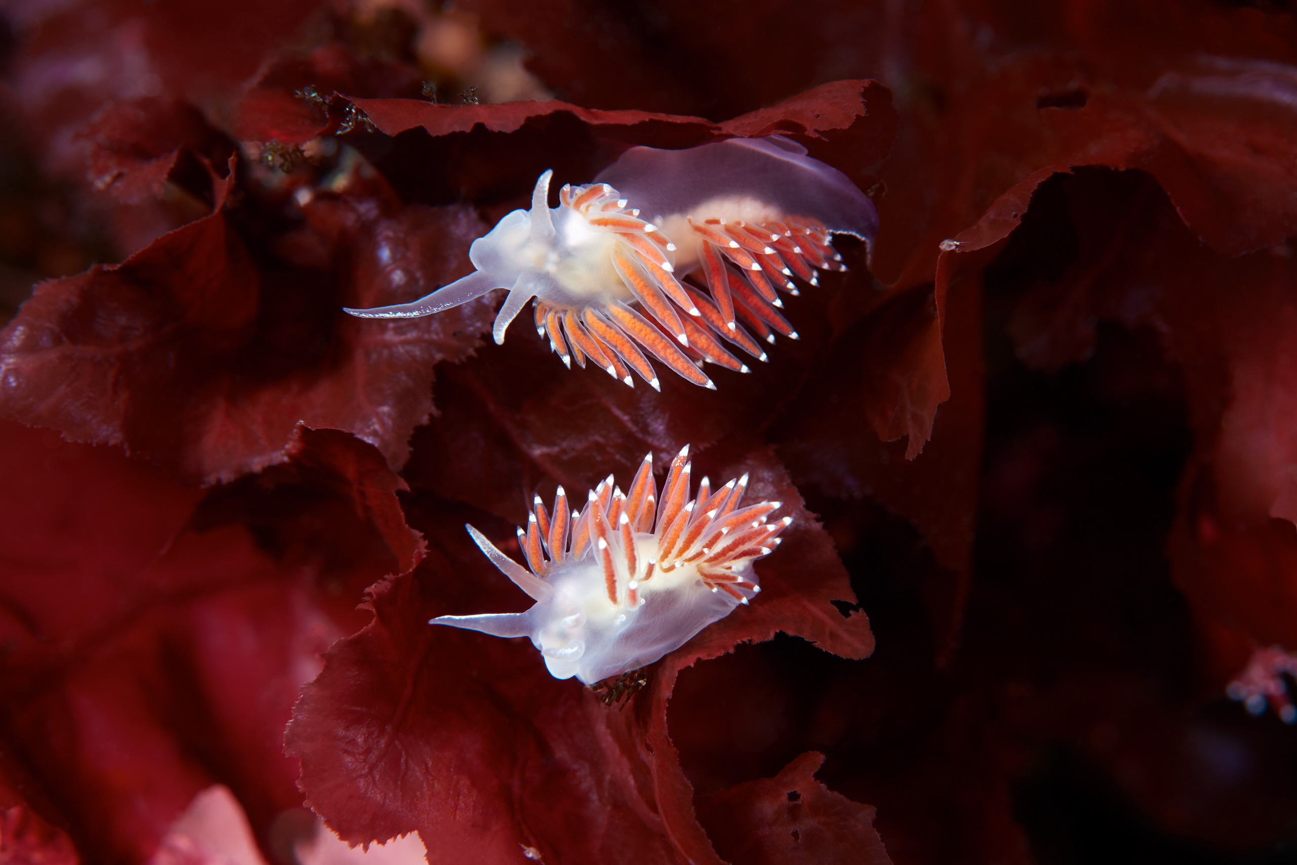 Nudibranchia – Sea slug – Flabellina verrucosa 1