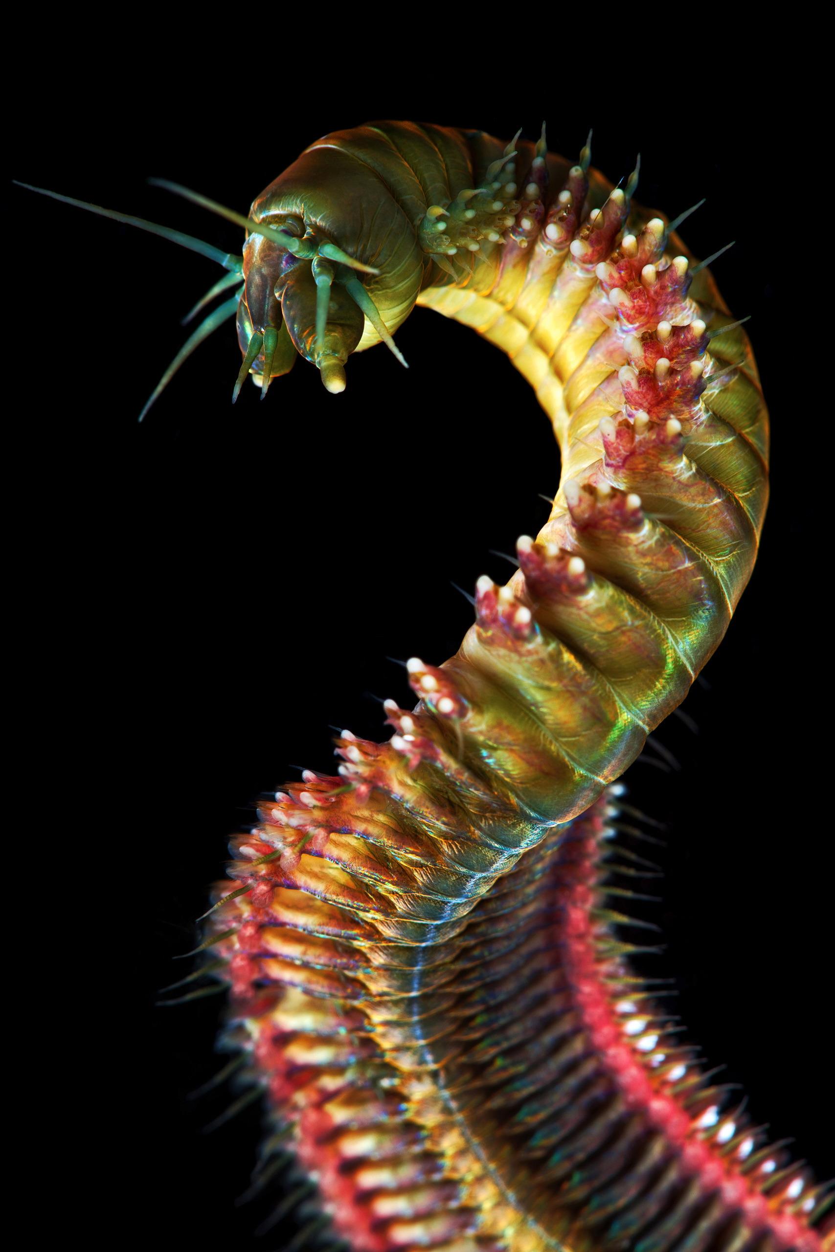 Polychaeta – King Ragworm – Nereis pelagica 1