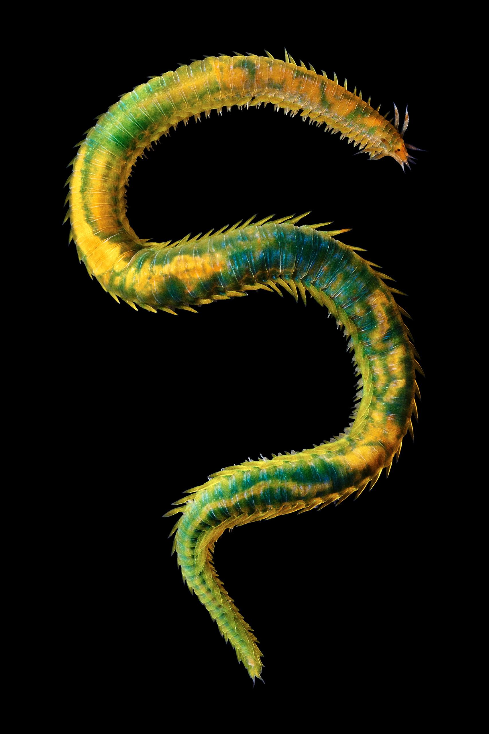 Polychaete – Eulalia viridis