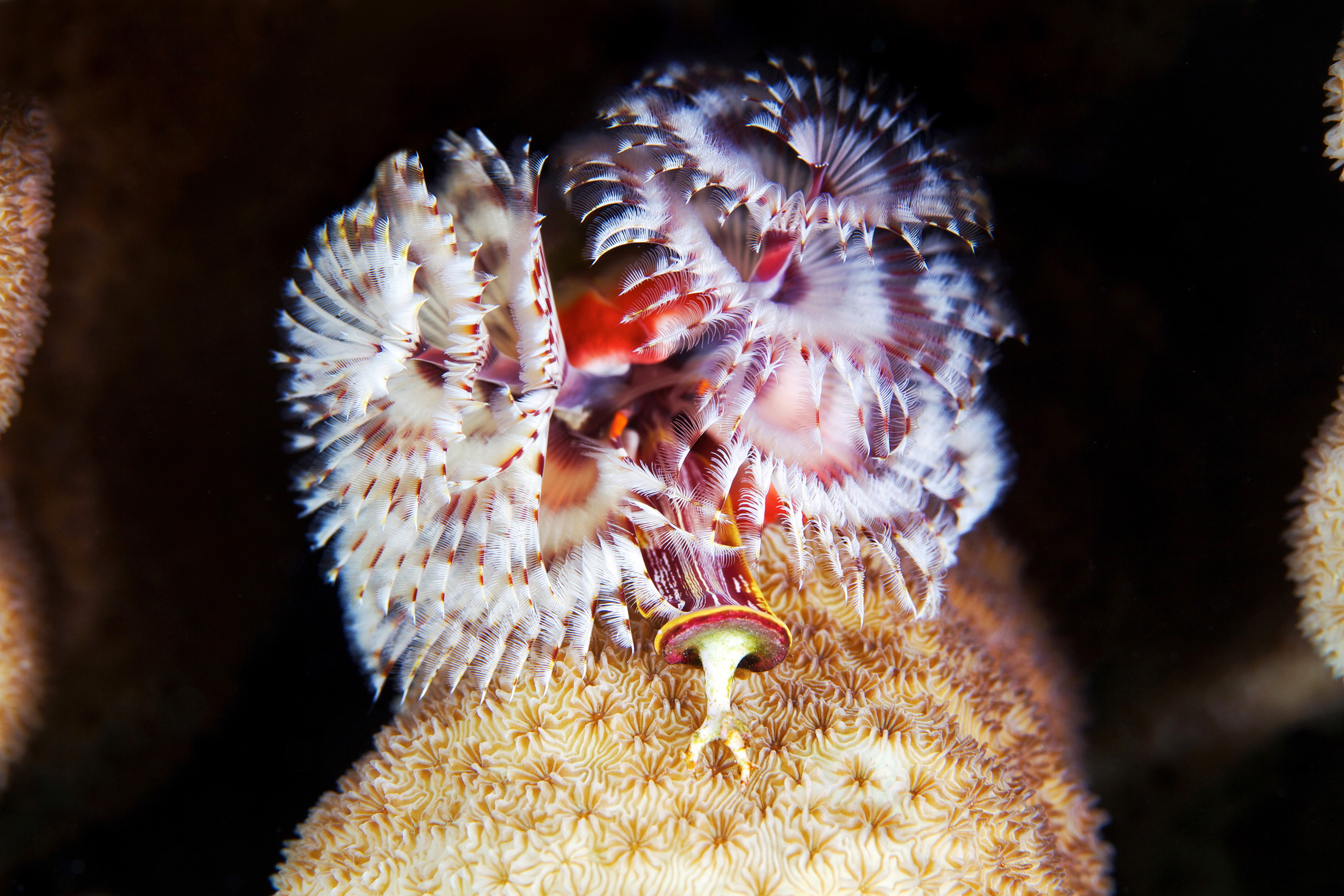 Polychaete – Spirobranchus giganteus