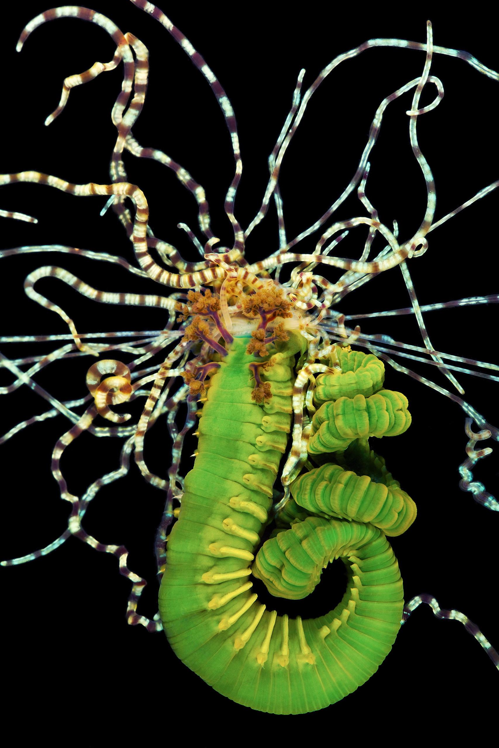 Polychaete – Terebellidae – Lanice viridis