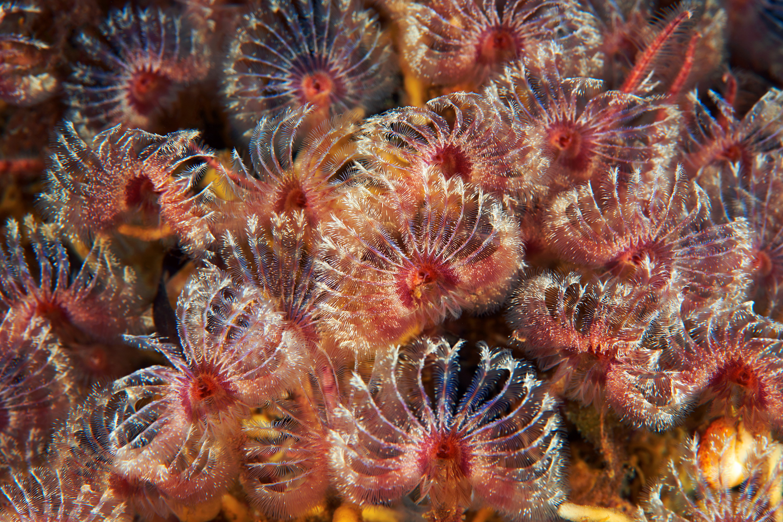Polychaete tube worm – Pseudopotamilla reniformis 2