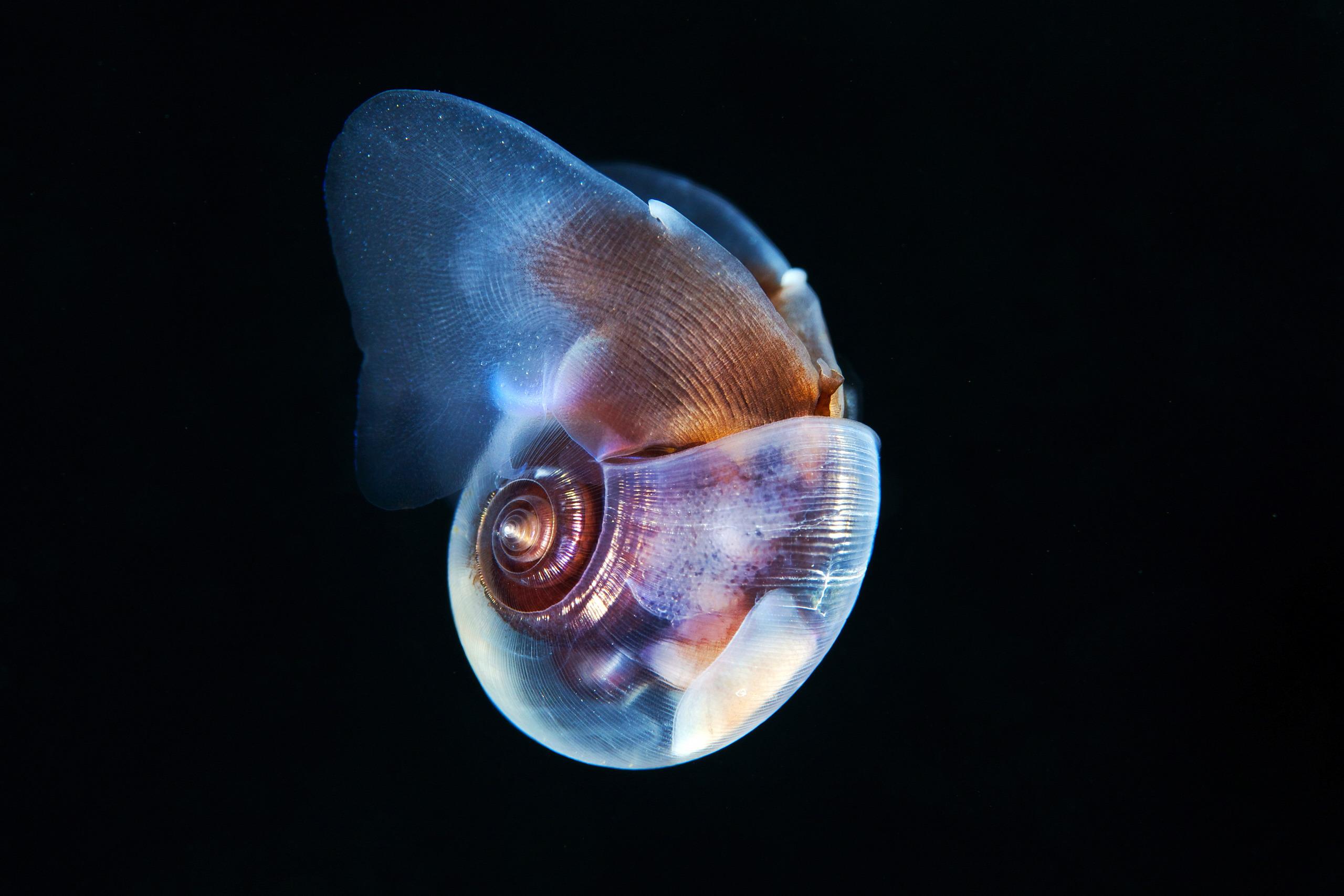 Pteropoda – Sea butterfly – Limacina helicina 07