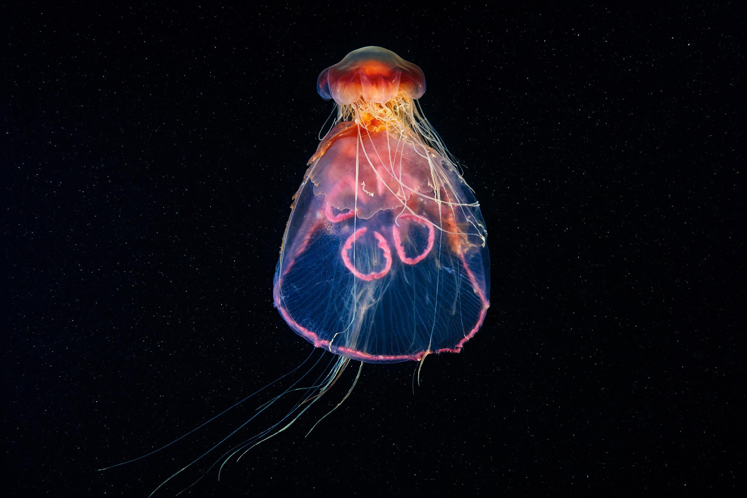 Scyphozoa – Lion's mane jellyfish – Cyanea capillata feeding on Aurelia aurita