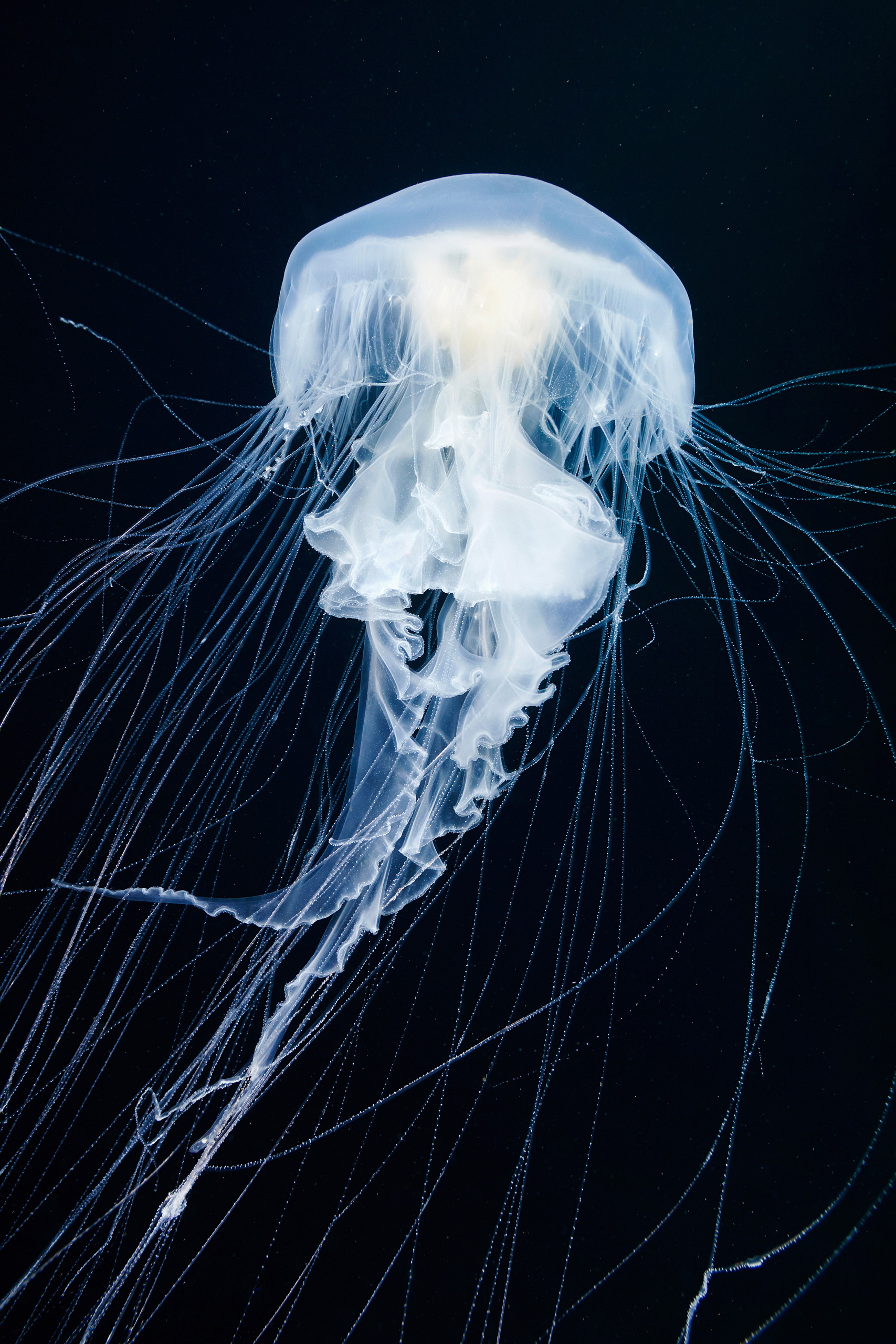 Scyphozoa – Unidentified jellyfish