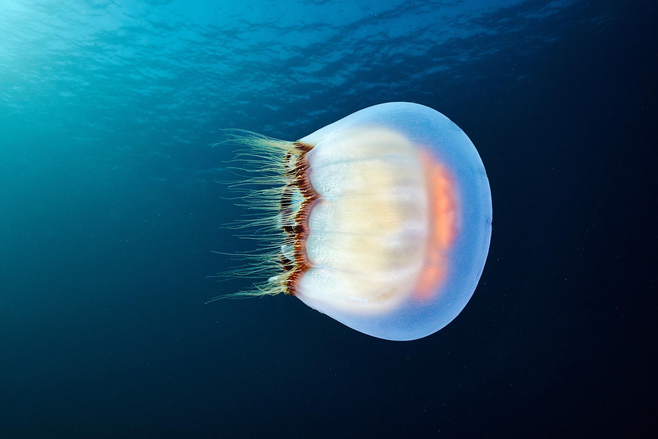 Scyphozoan jellyfish – Brown banded moon jellyfish – Aurelia limbata 3