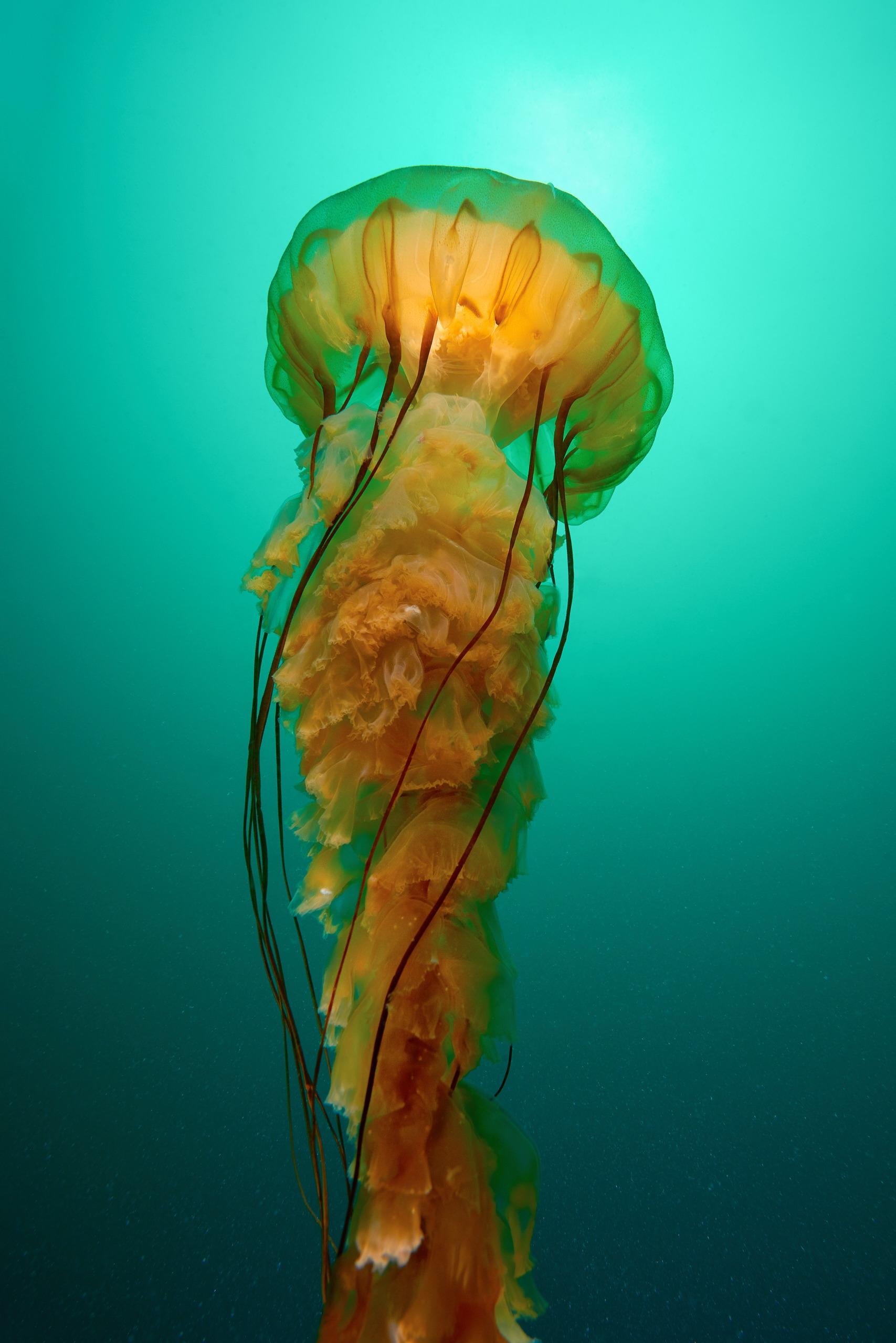 Scyphozoan jellyfish – Chrysaora fuscescens