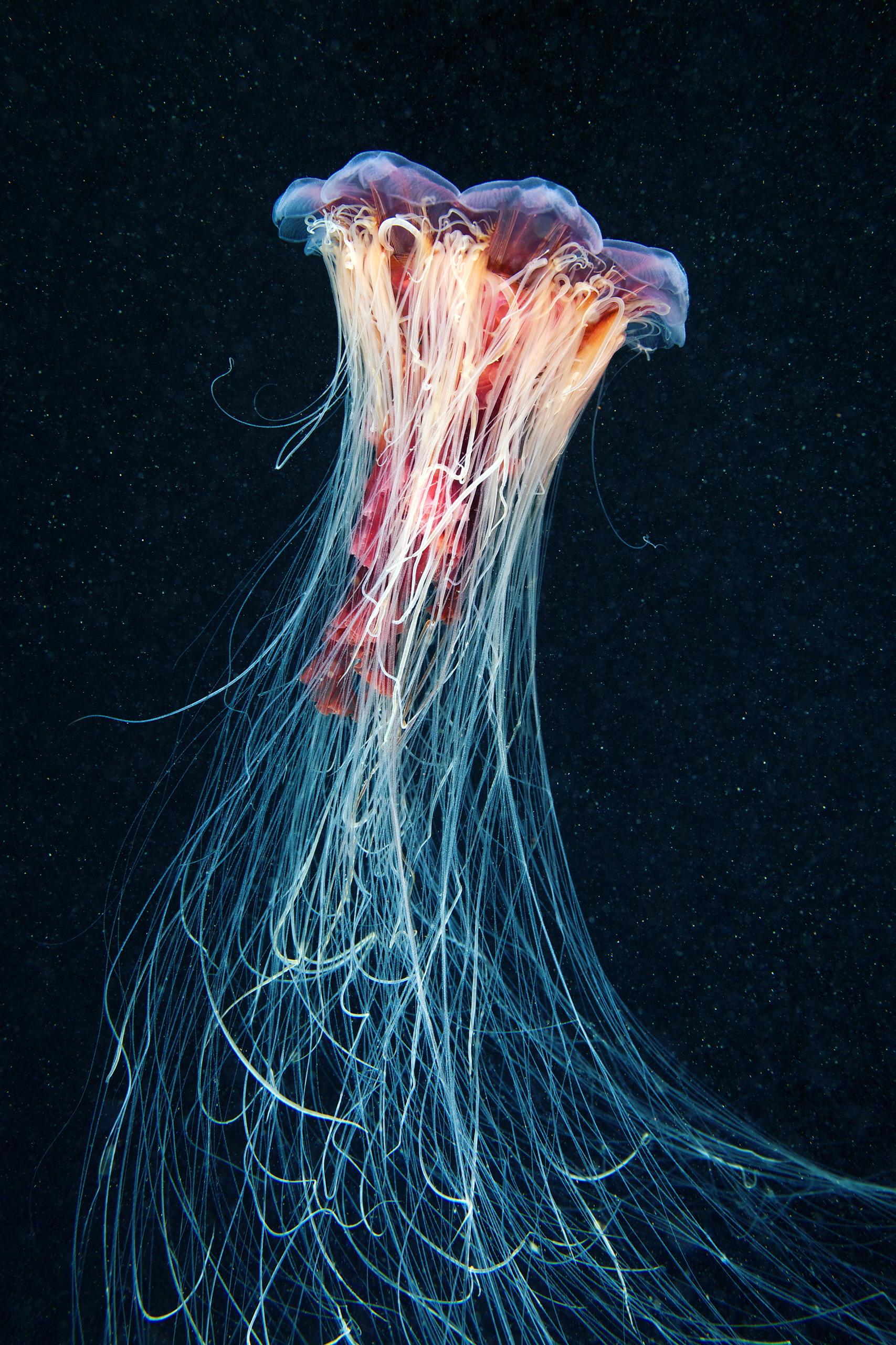 Scyphozoan jellyfish – Lion's mane jellyfish – Cyanea capillata 03