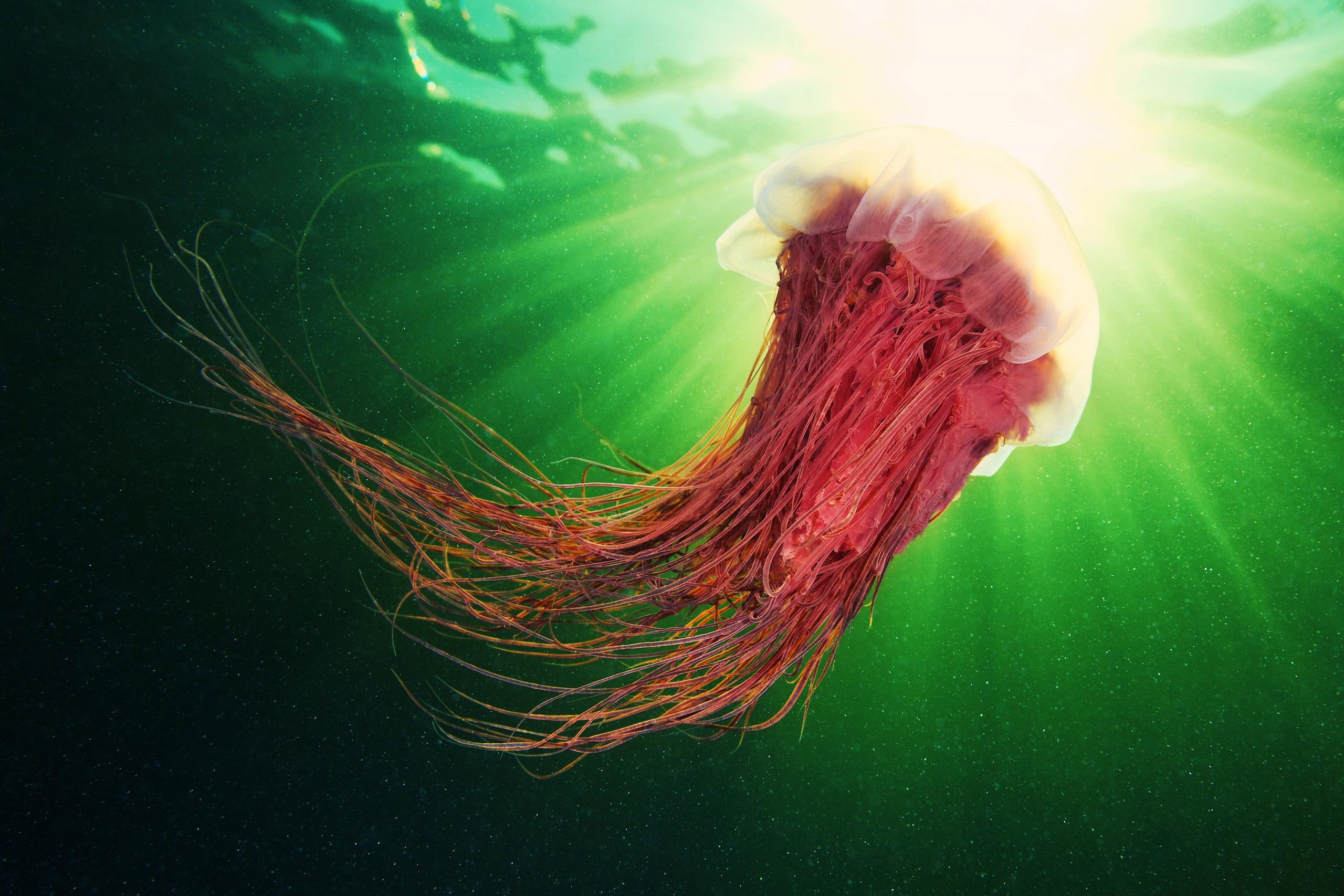 Scyphozoan jellyfish – Lion's mane jellyfish – Cyanea capillata 04