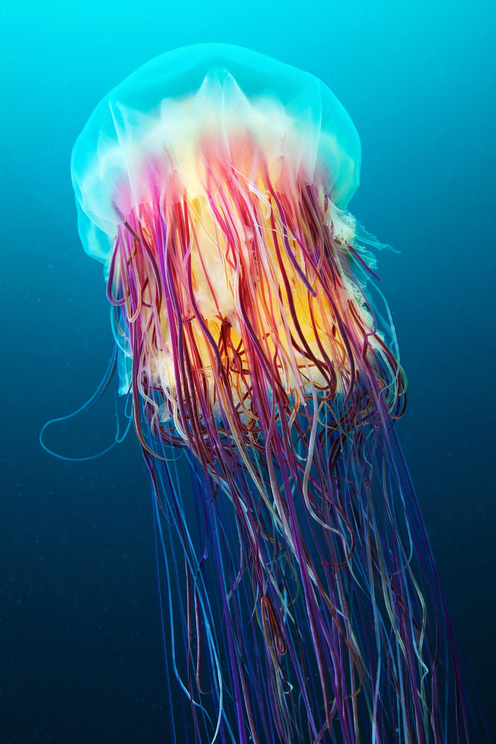 Scyphozoan jellyfish – Lion's mane jellyfish – Cyanea capillata 05