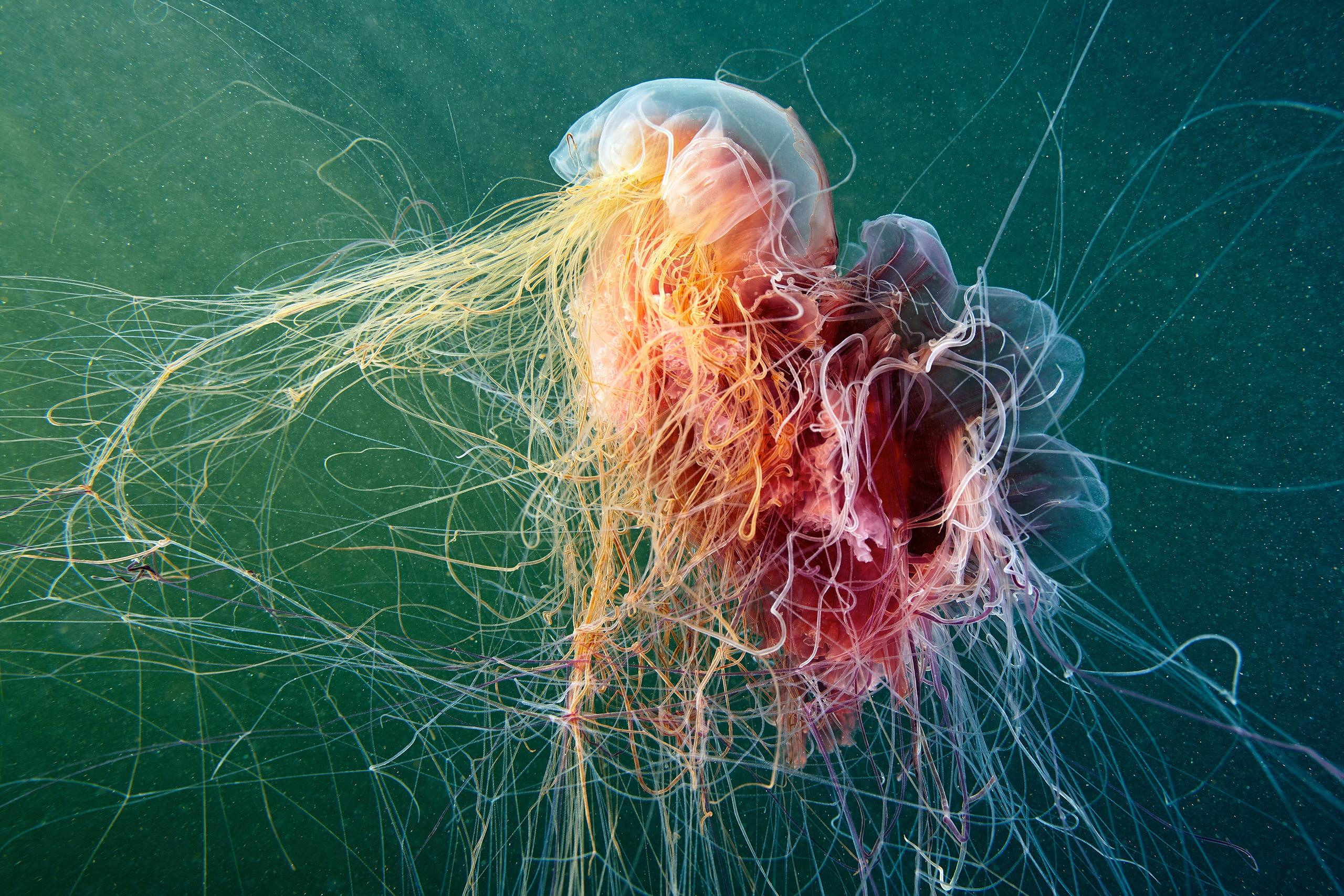Scyphozoan jellyfish – Lion's mane jellyfish – Cyanea capillata 09