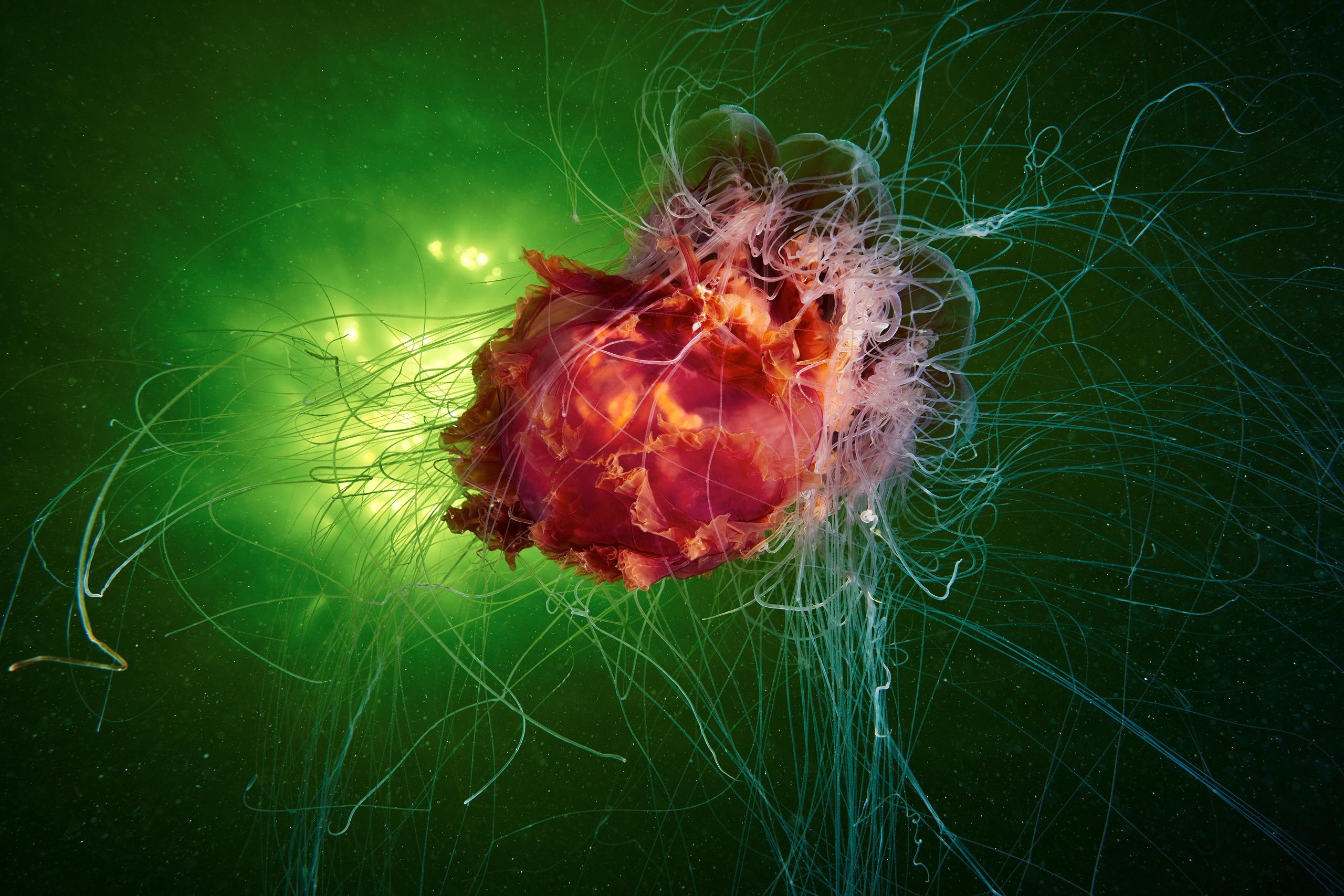 Scyphozoan jellyfish – Lion's mane jellyfish – Cyanea capillata 1