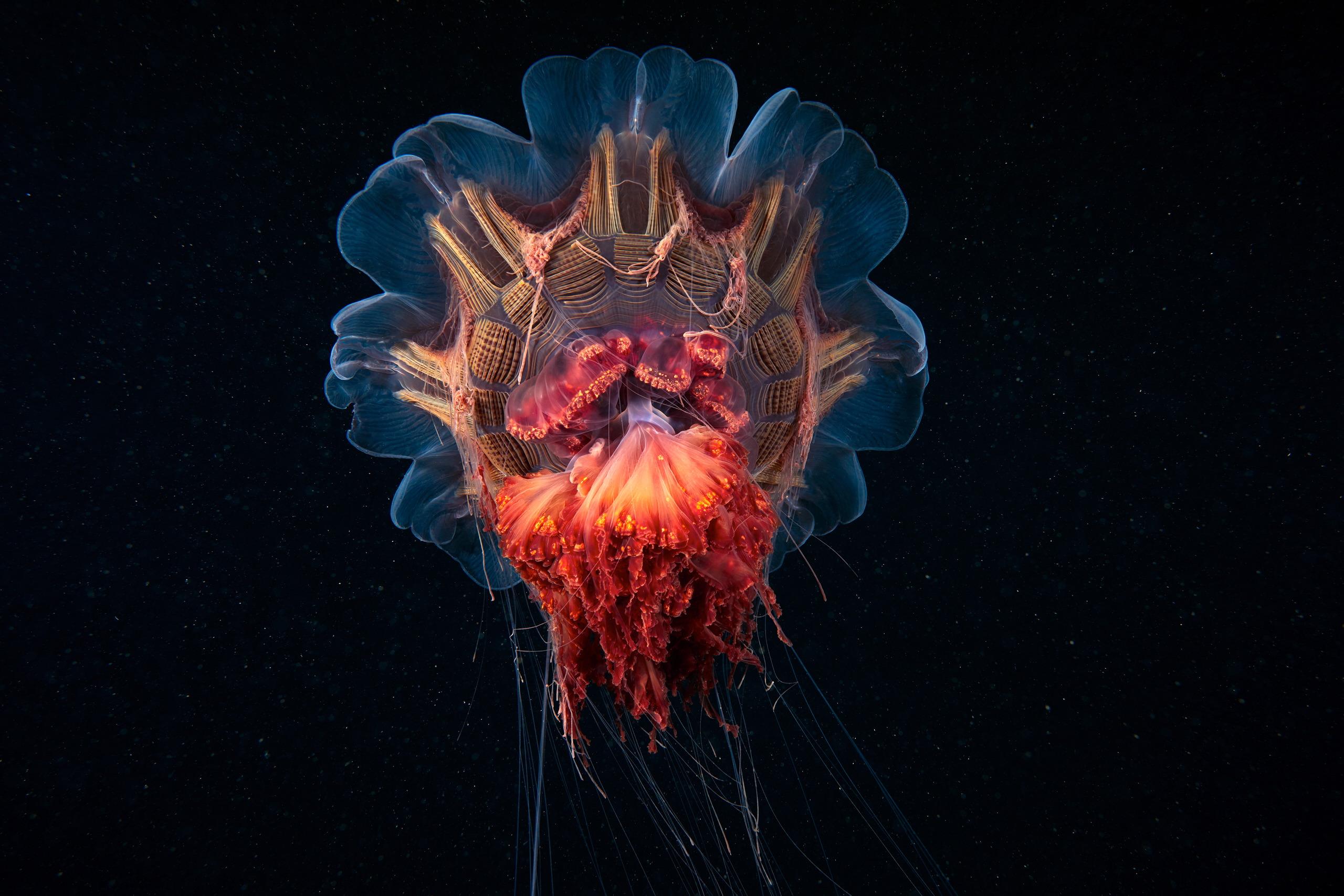 Scyphozoan jellyfish – Lion's mane jellyfish – Cyanea capillata 11