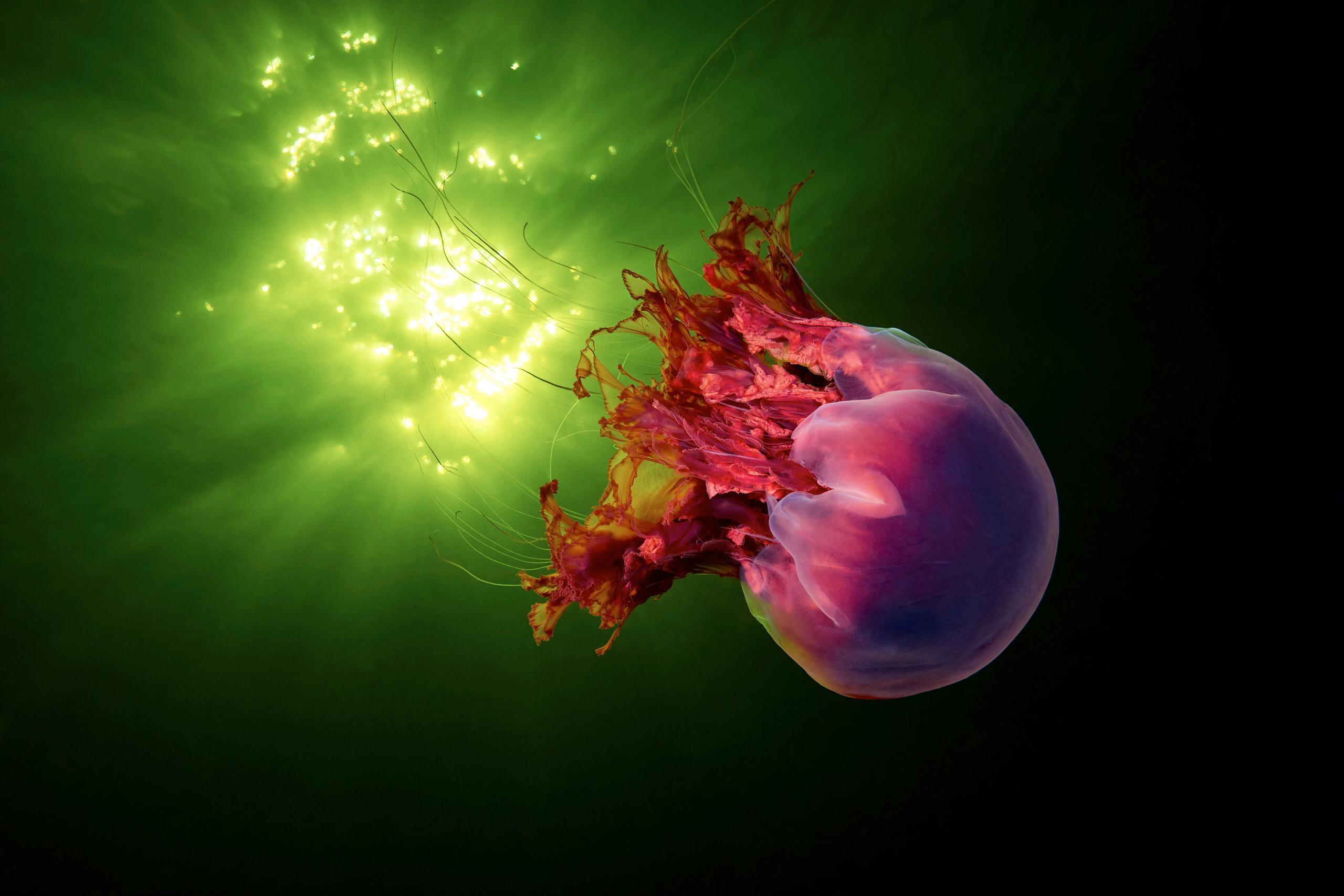 Scyphozoan jellyfish – Lion's mane jellyfish – Cyanea capillata 13