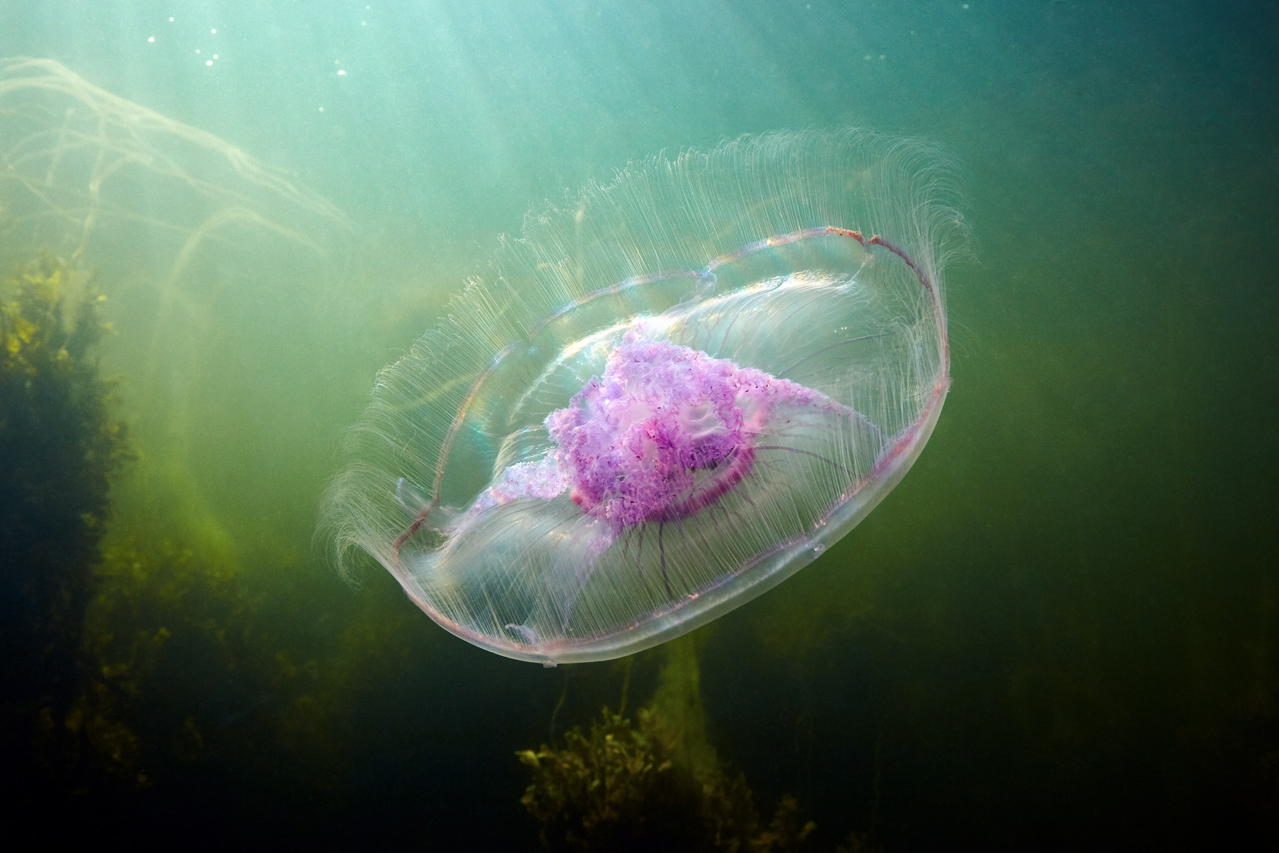 Scyphozoan jellyfish – Moon jellyfish – Aurelia aurita 04