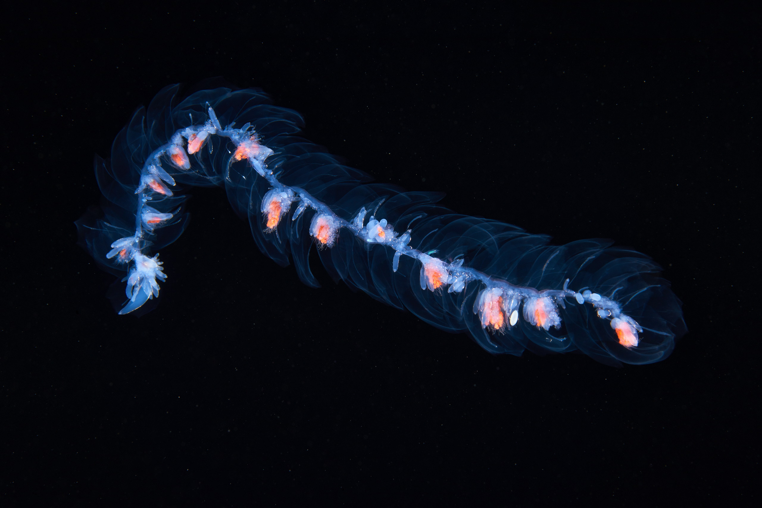 Siphonophore unidentified 1