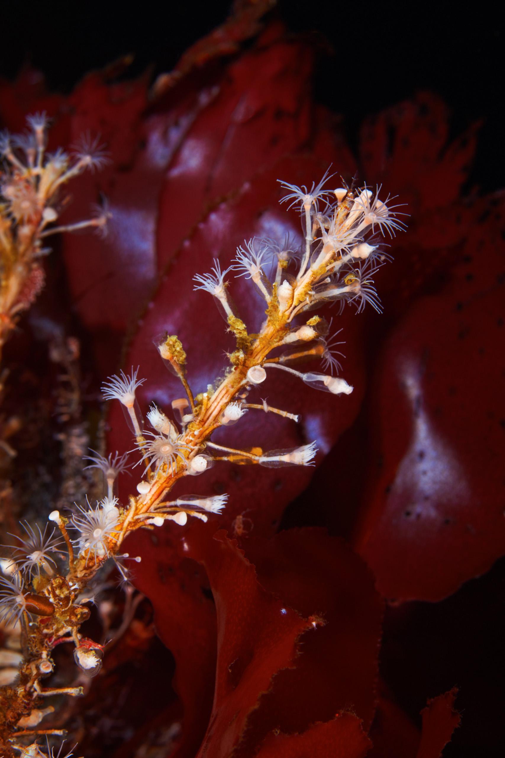 Unknown hydrozoan