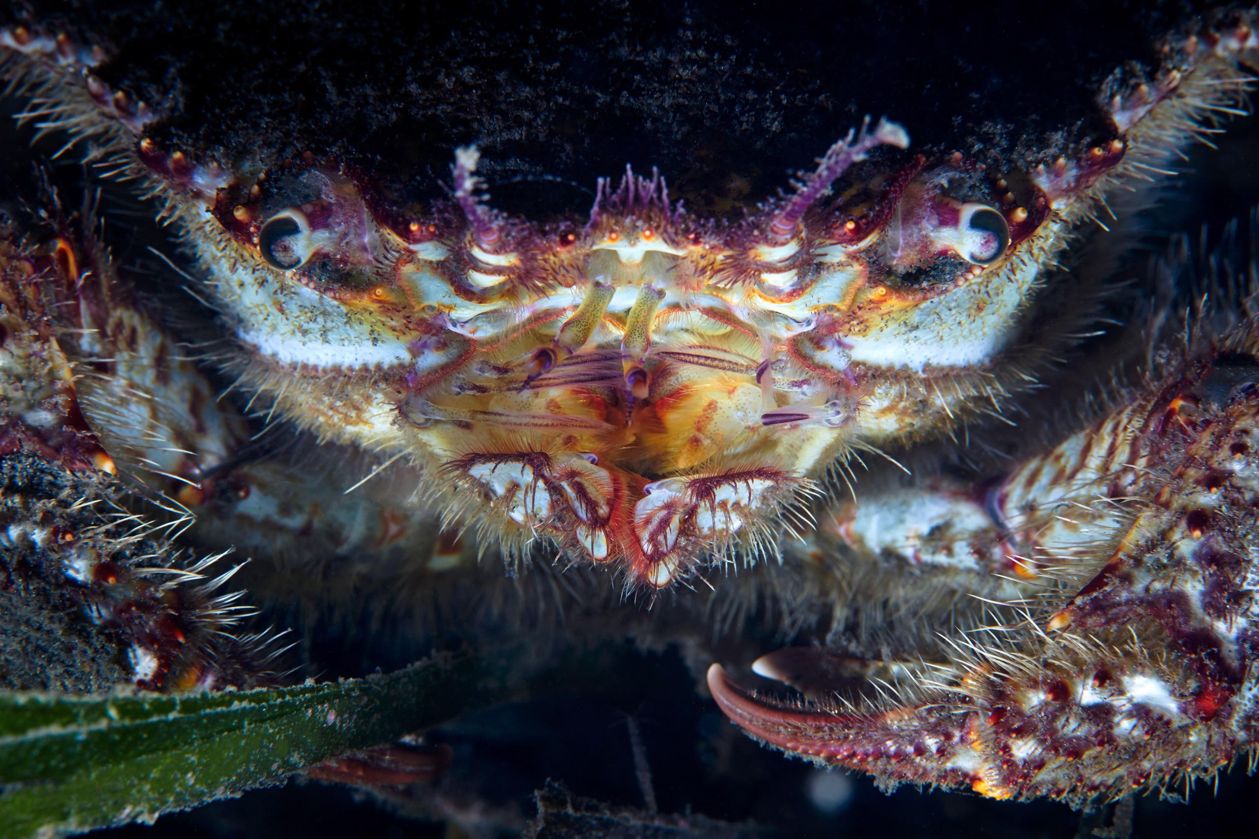 Crab – Erimacrus isenbeckii 2