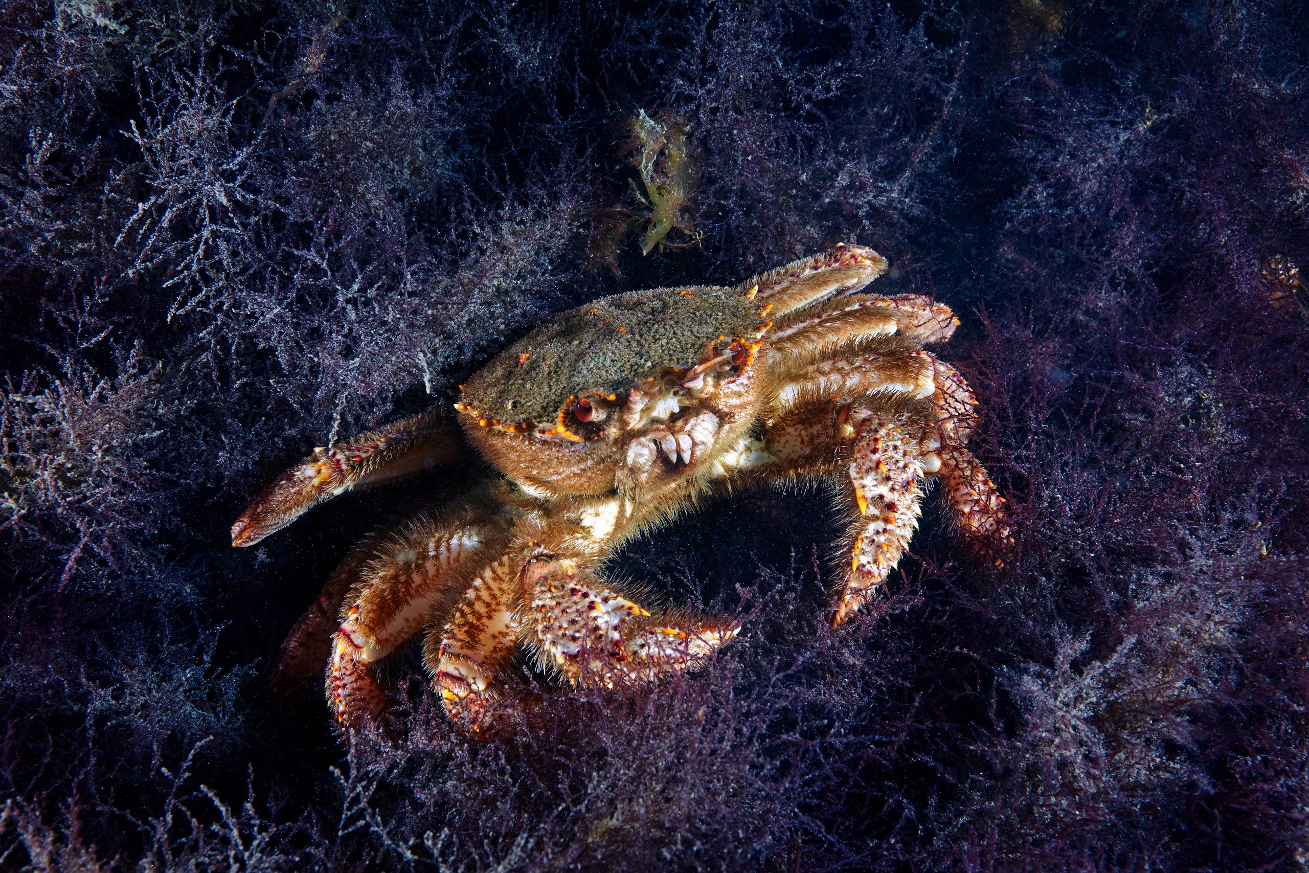 Crab – Erimacrus isenbeckii