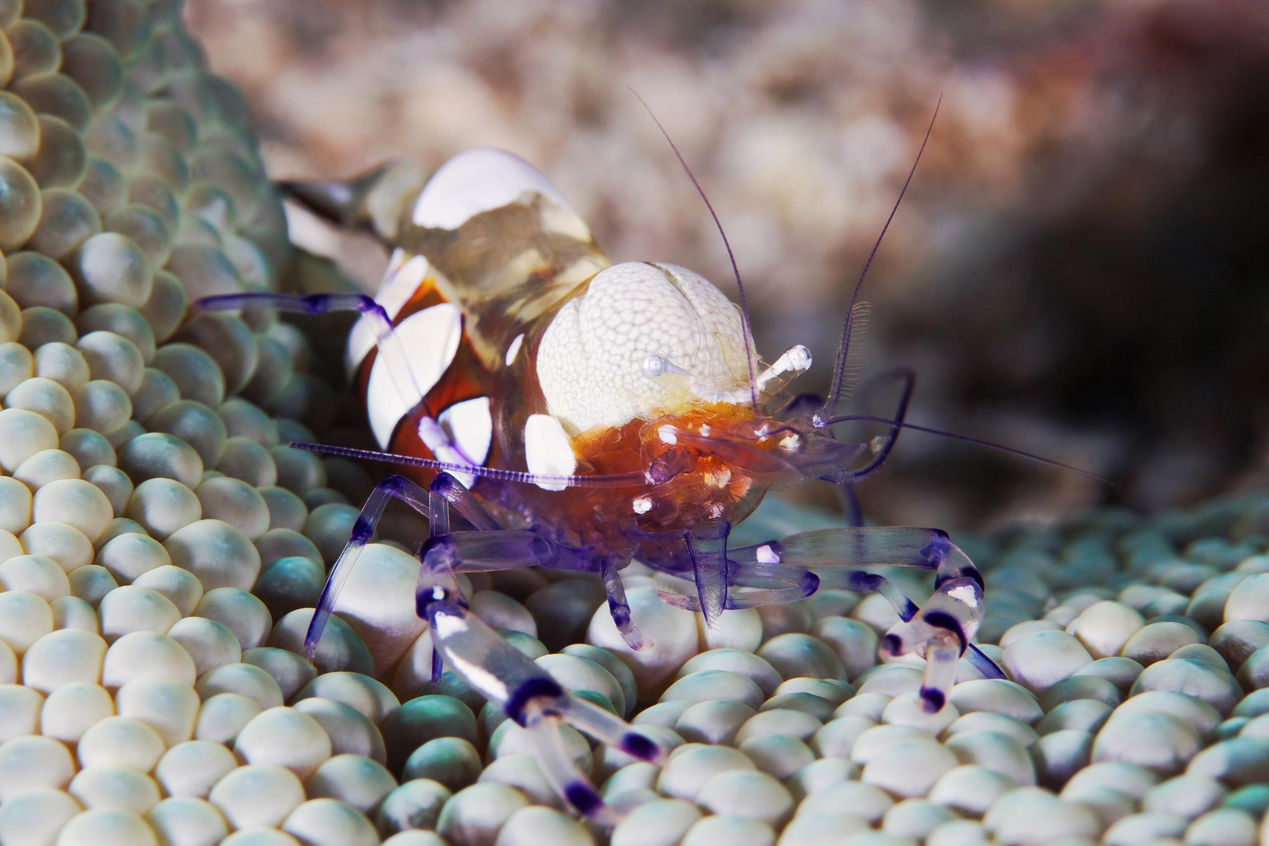 Crustacea – Periclimenes brevicarpalis