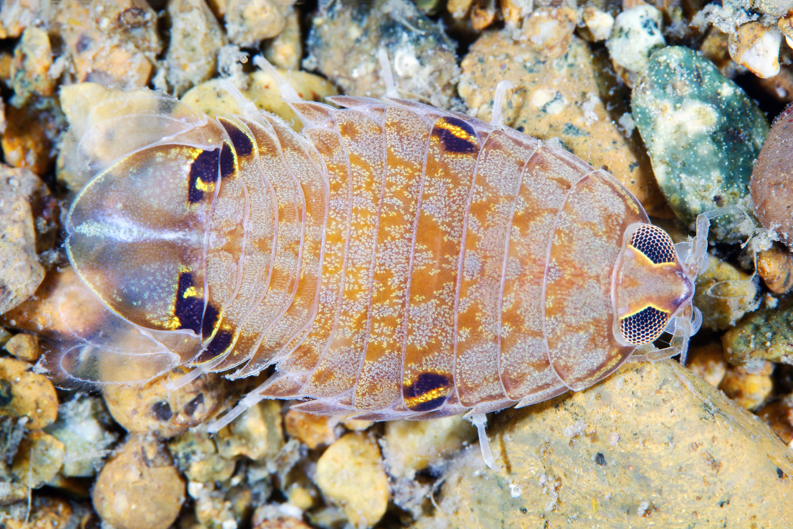 Crustacean – Isopod unidentified