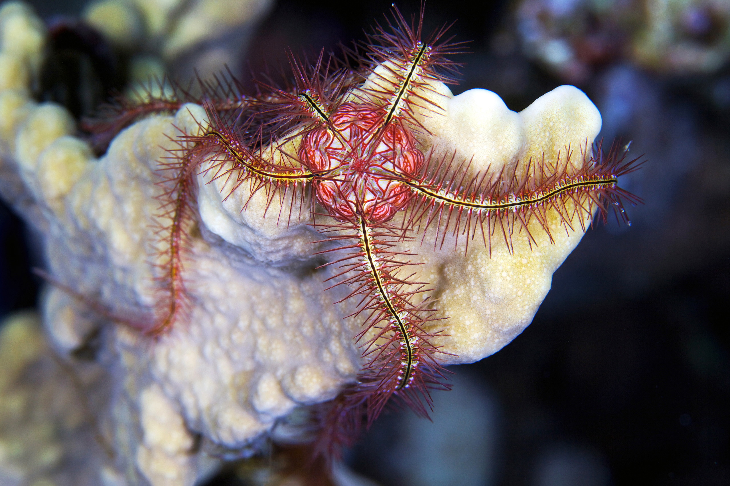 Echinodermata – Ophiothrix savignyi