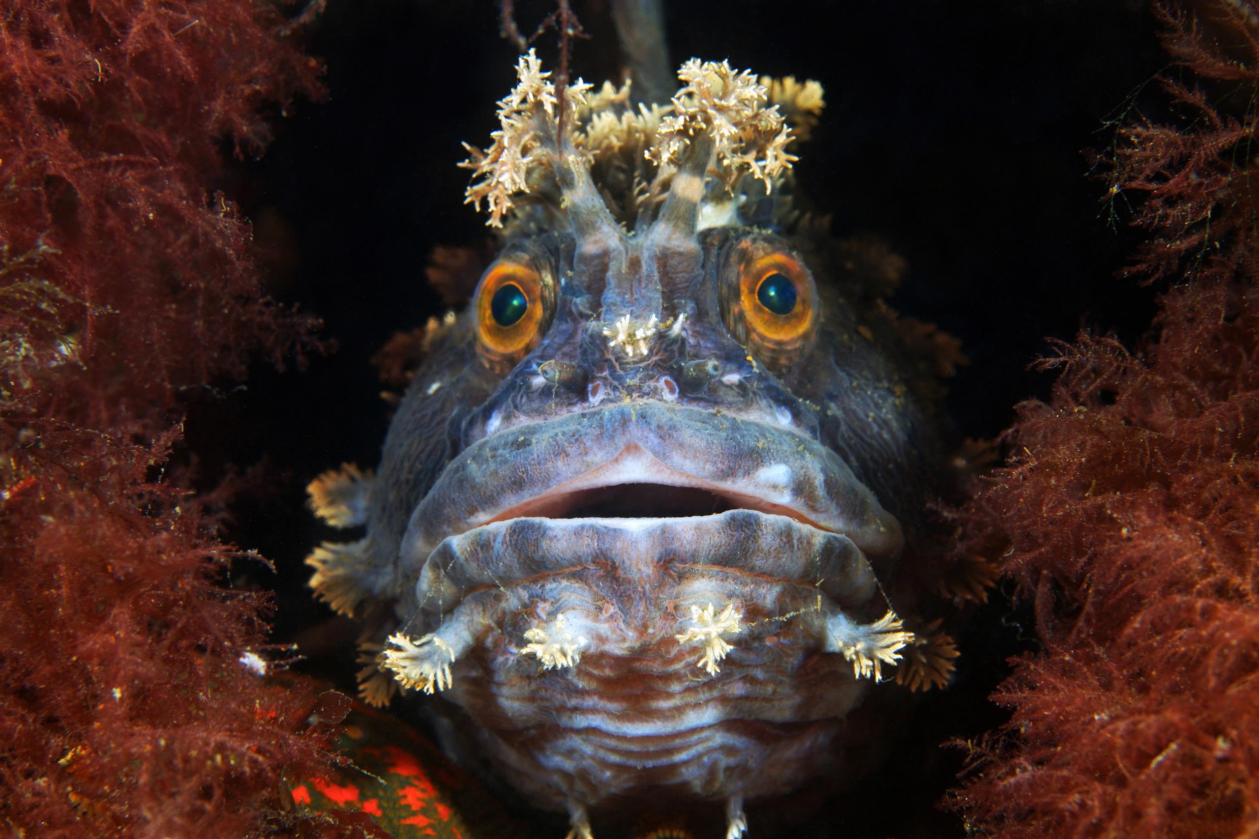 Fish – Japanese Warbonnet – Chirolophis japonicus