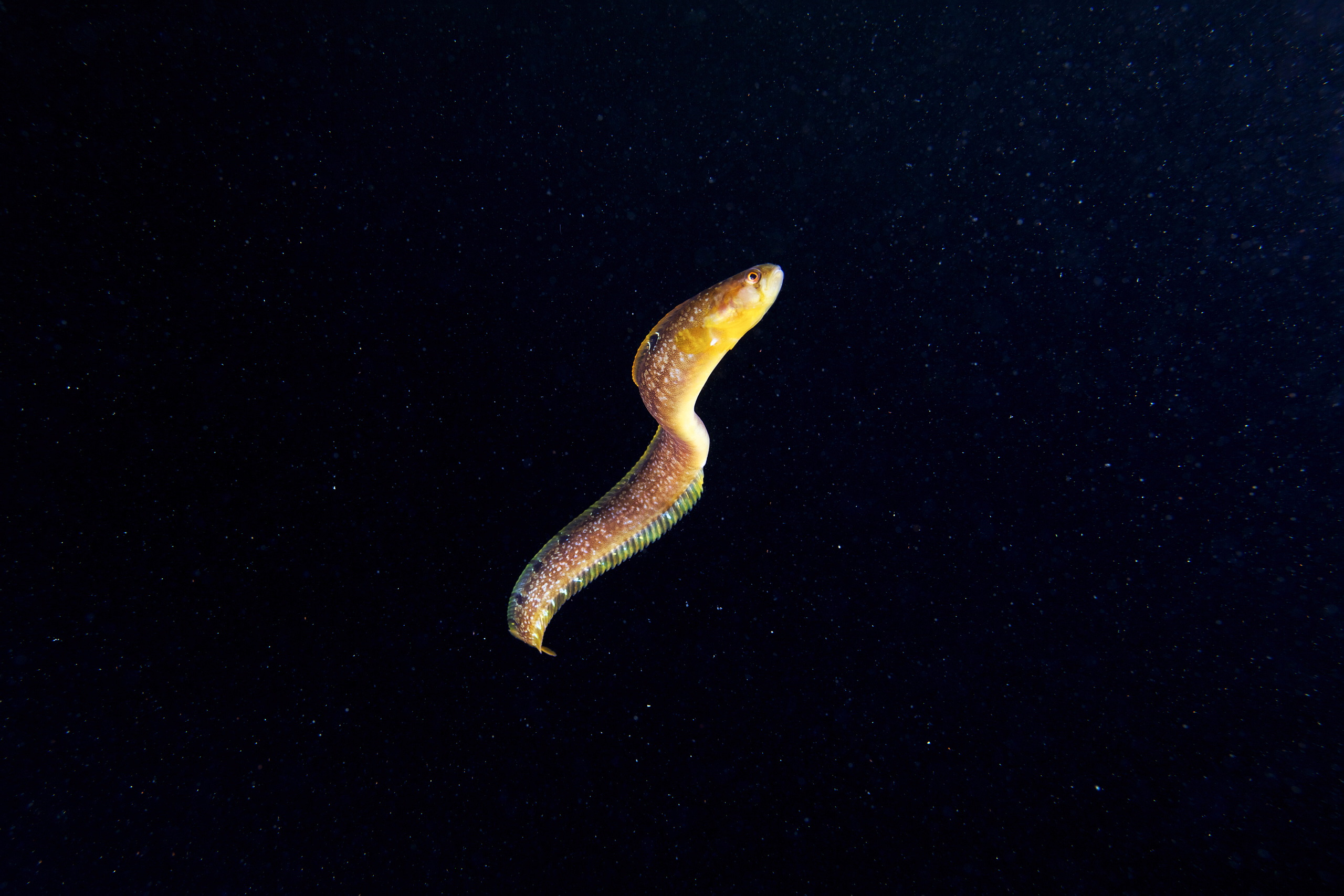 Fish – Pholis gunnellus