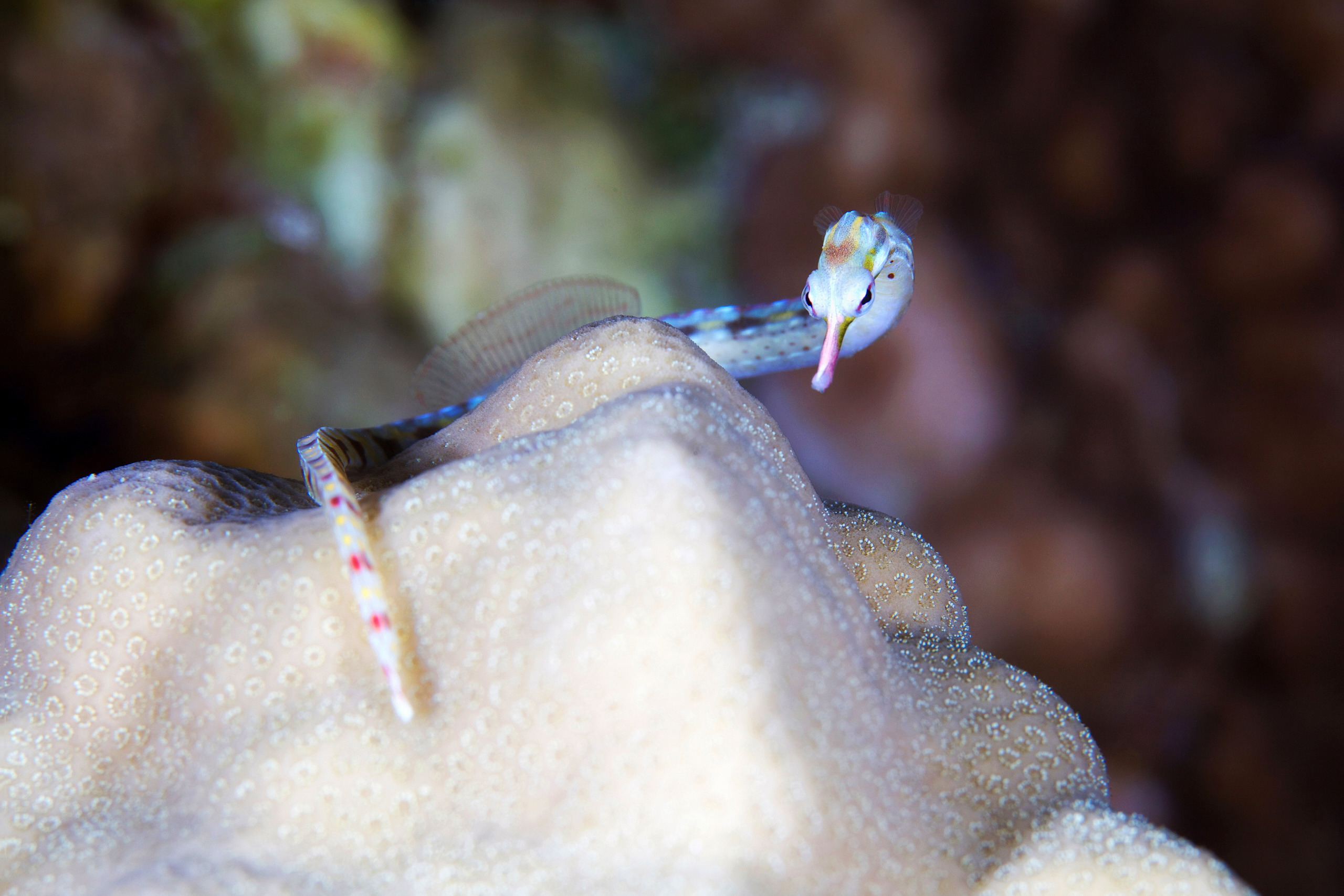 Fish – Pipe fish – Corythoichthys sp