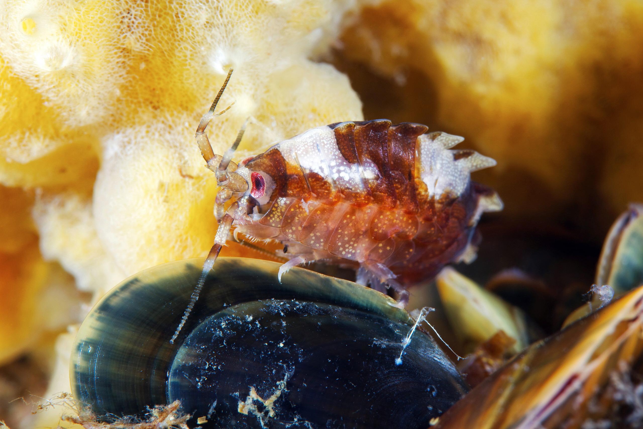 Gammarellus homari 1