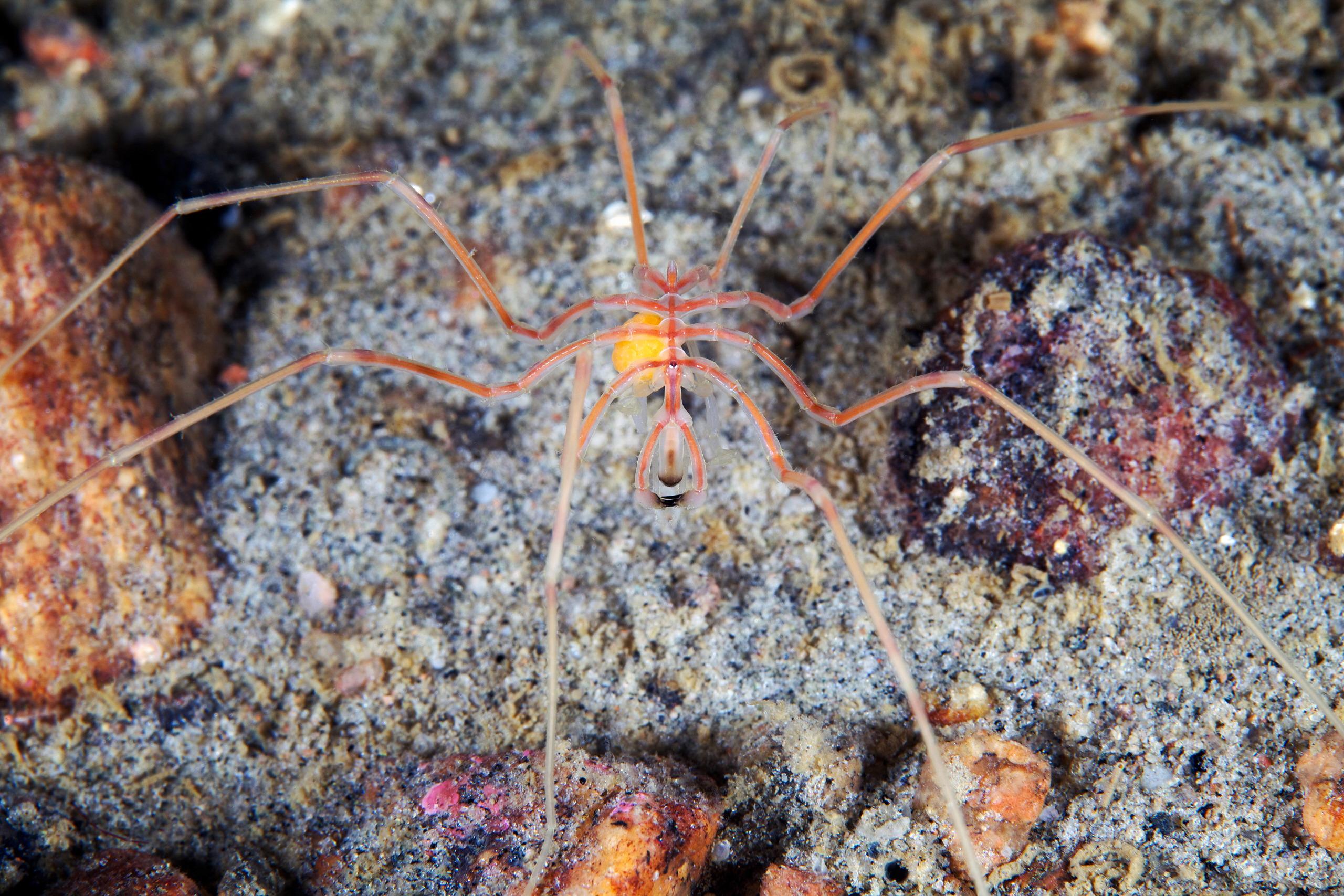 Pycnogonidae – Nymphon sp