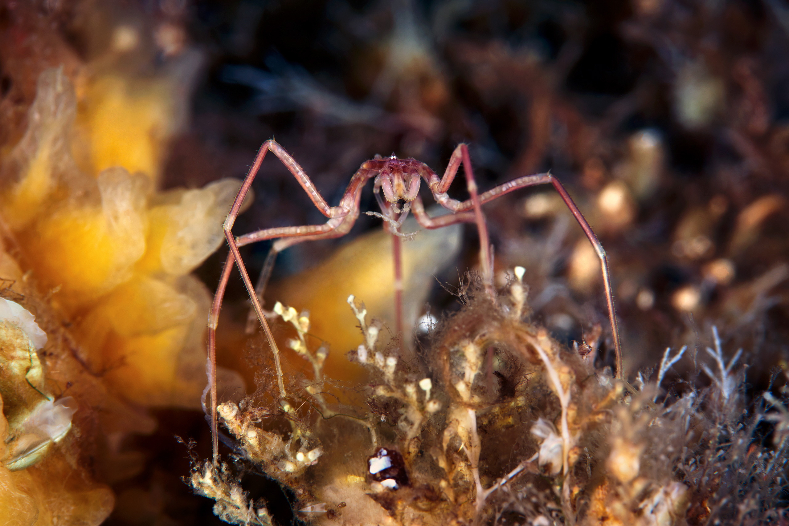 Pycnogonidae – Sea spider – Nymphon grossipes