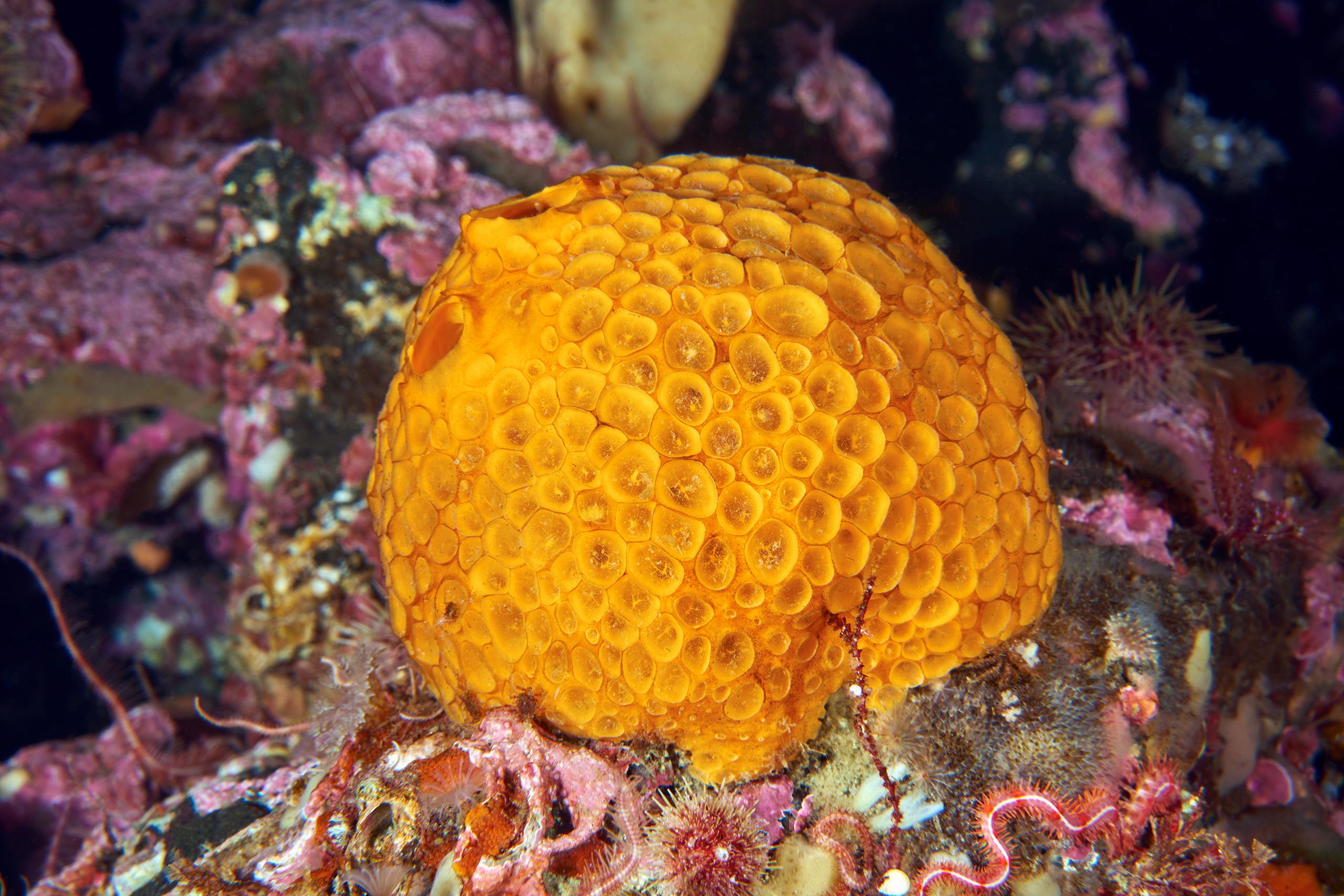 Tetillidae sponge