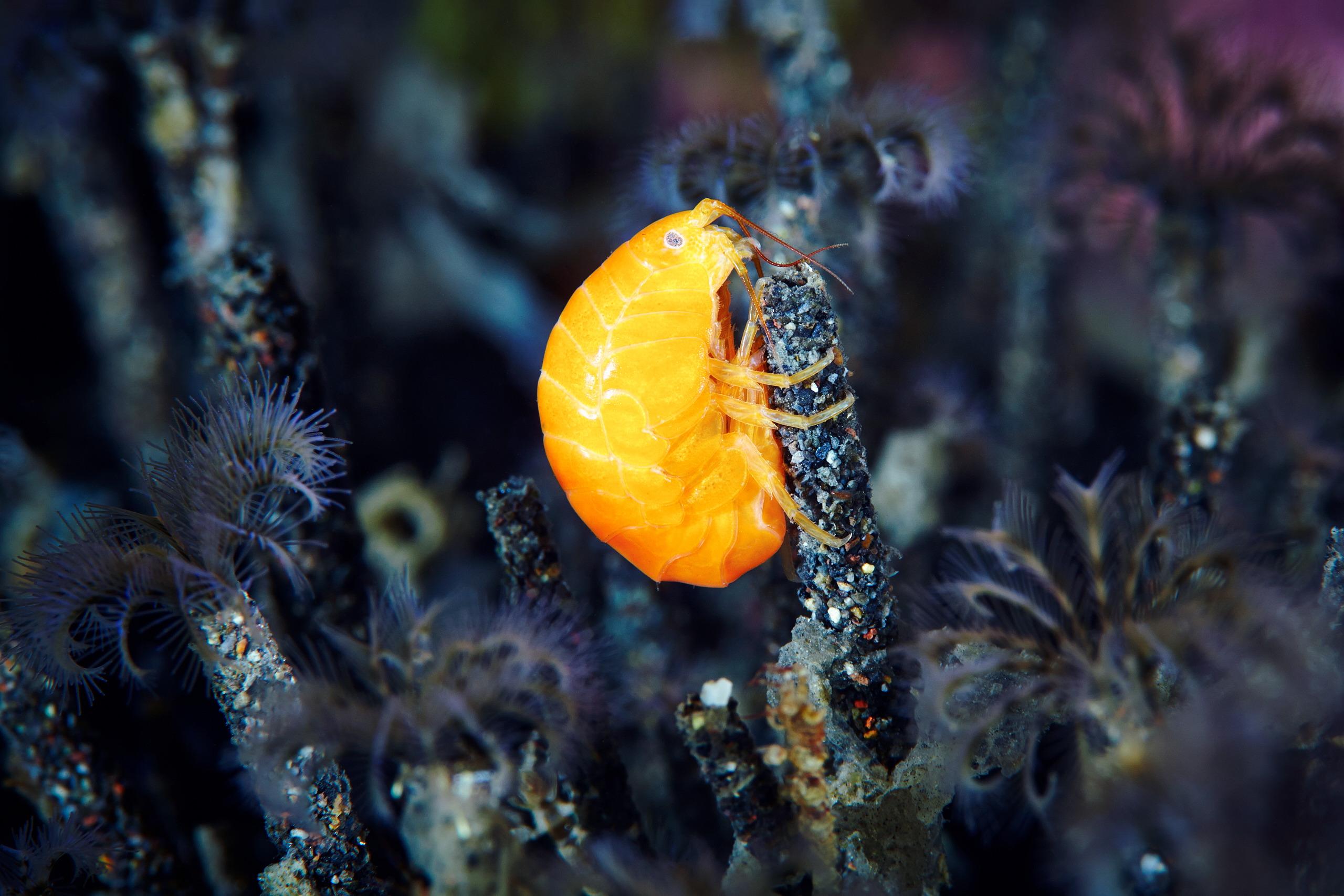 Unidentified amphipod